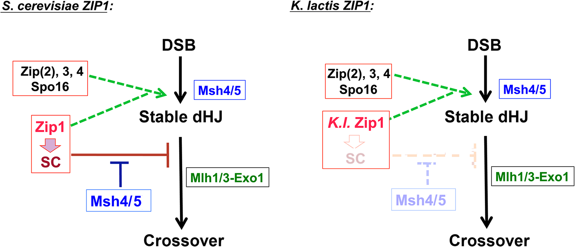 One model to explain the constrained relationship between MutSγ, SIC/Zip1-associated JMs, and MutLγ proteins and how <i>K</i>. <i>l</i>. Zip1 might bypass the constraint.