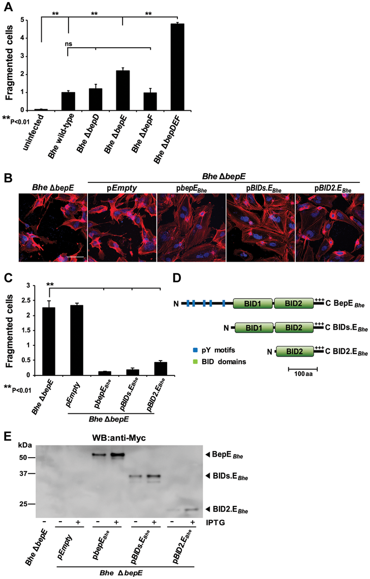 Deletion of BepE is sufficient for <i>Bhe</i> to induce cell fragmentation.