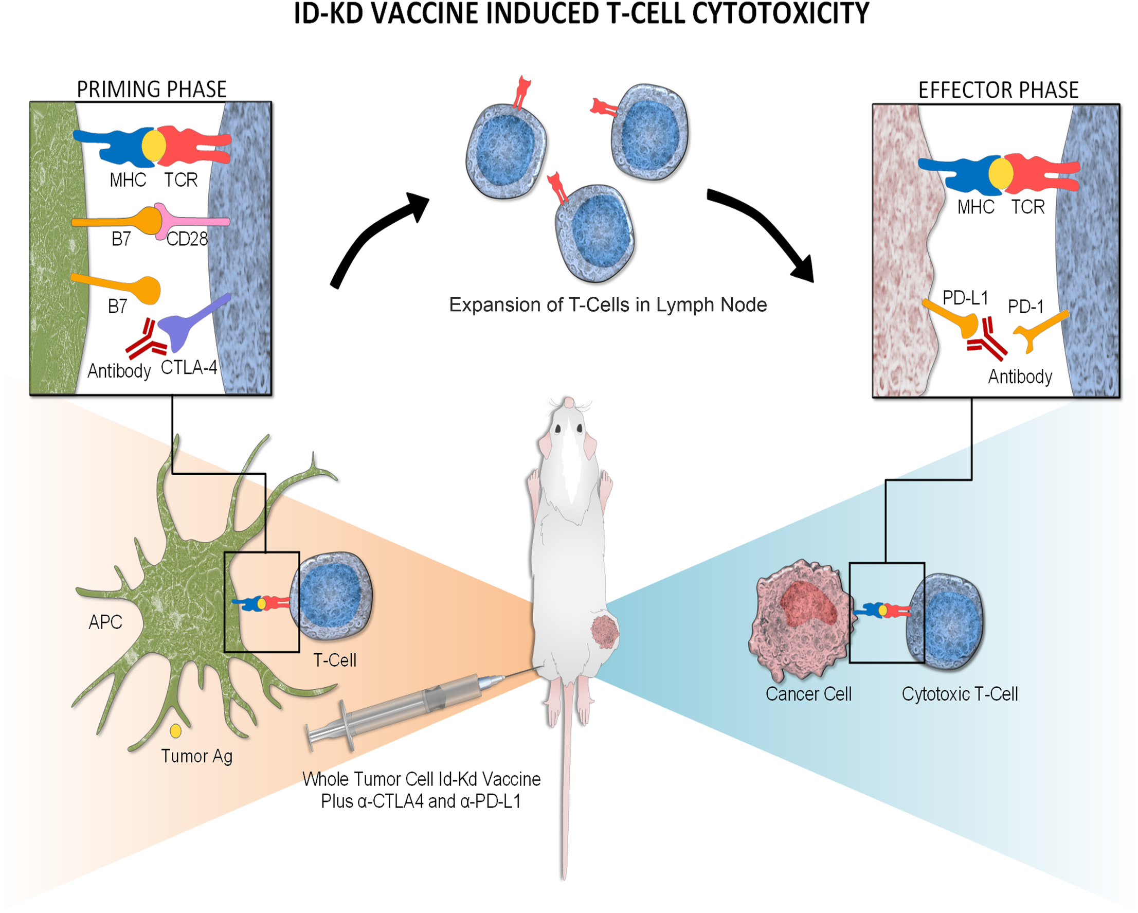 Mechanism of Id2kd Neuro2a vaccination combined with α-CTLA-4 and α-PD-L1 immunotherapy in the immunogenic Neuro2a model.