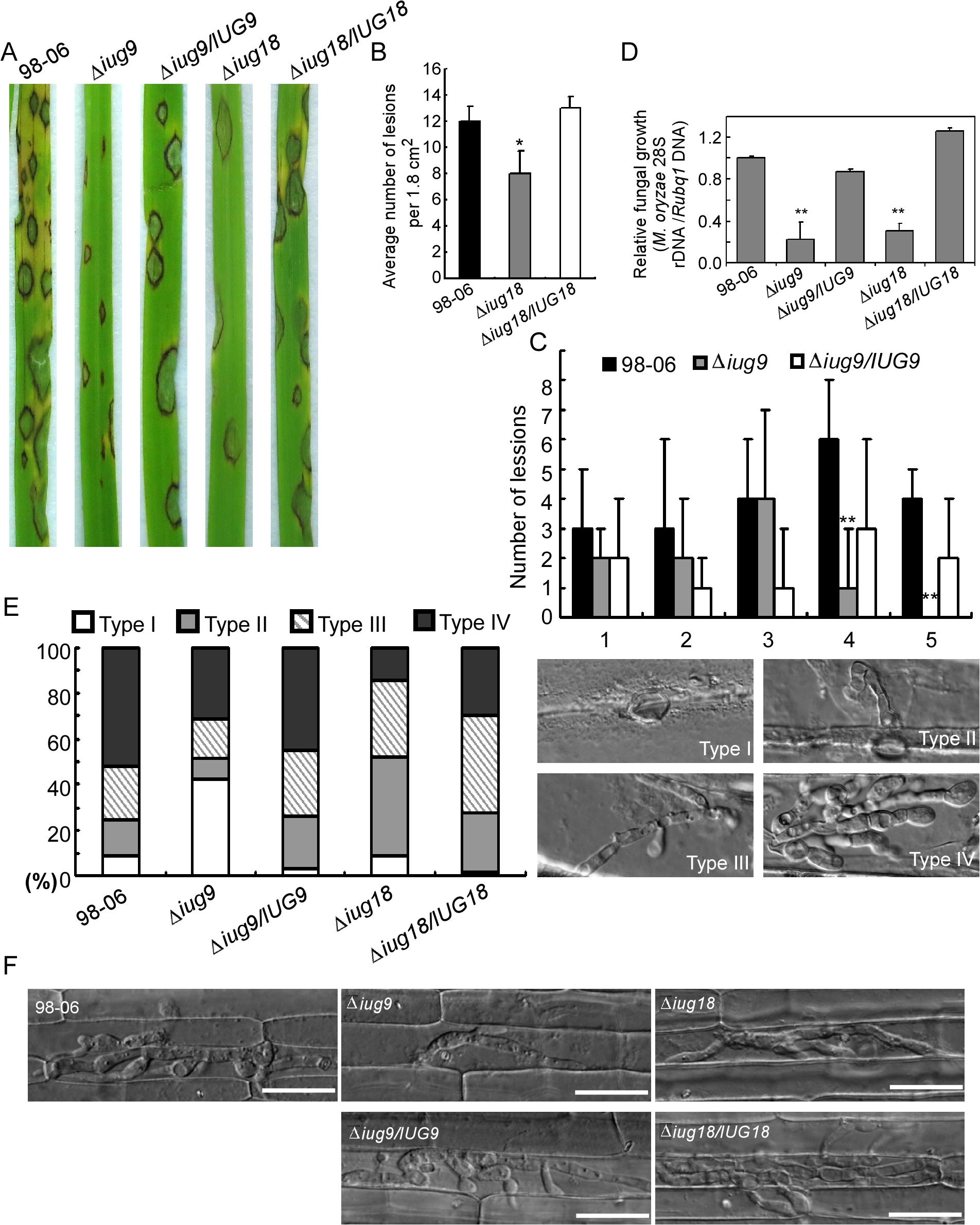 <i>IUG9</i> and <i>IUG18</i> are involved in pathogenicity of <i>M</i>. <i>oryzae</i>.
