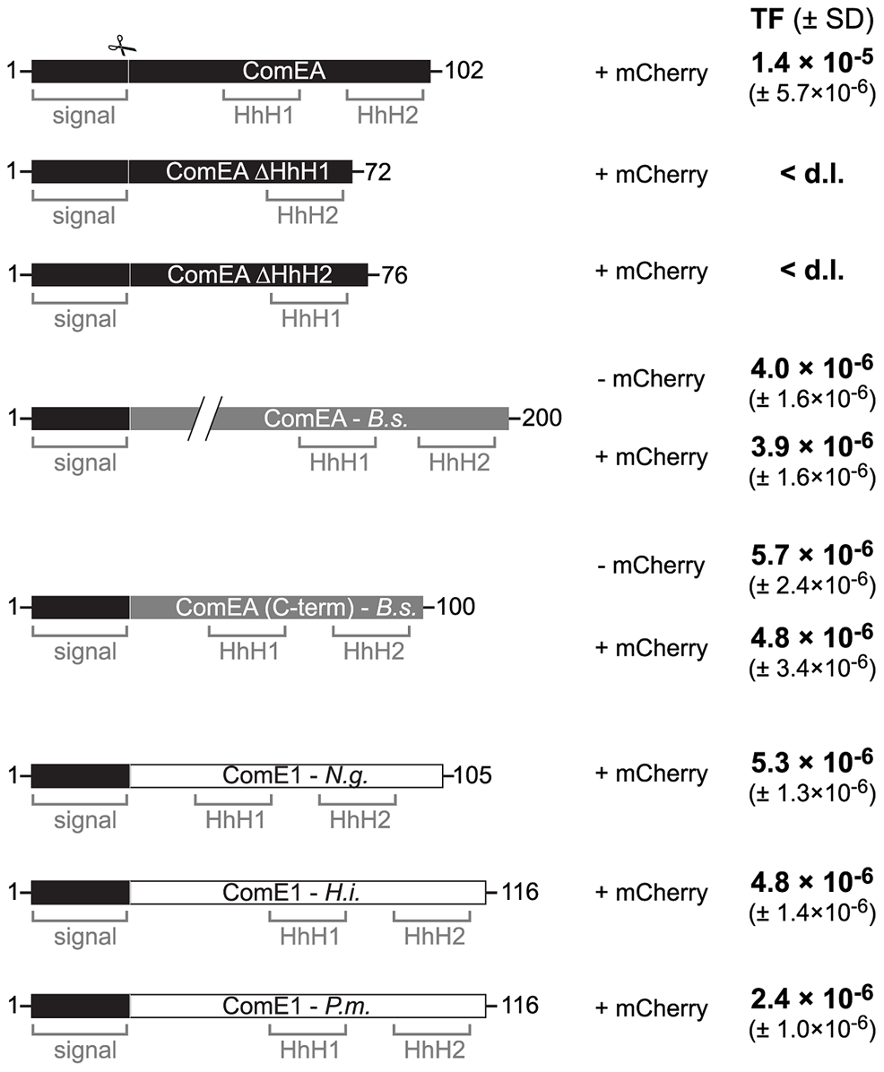 ComEA homologs from different naturally competent bacteria compensate for the absence of ComEA in <i>V. cholerae</i>.