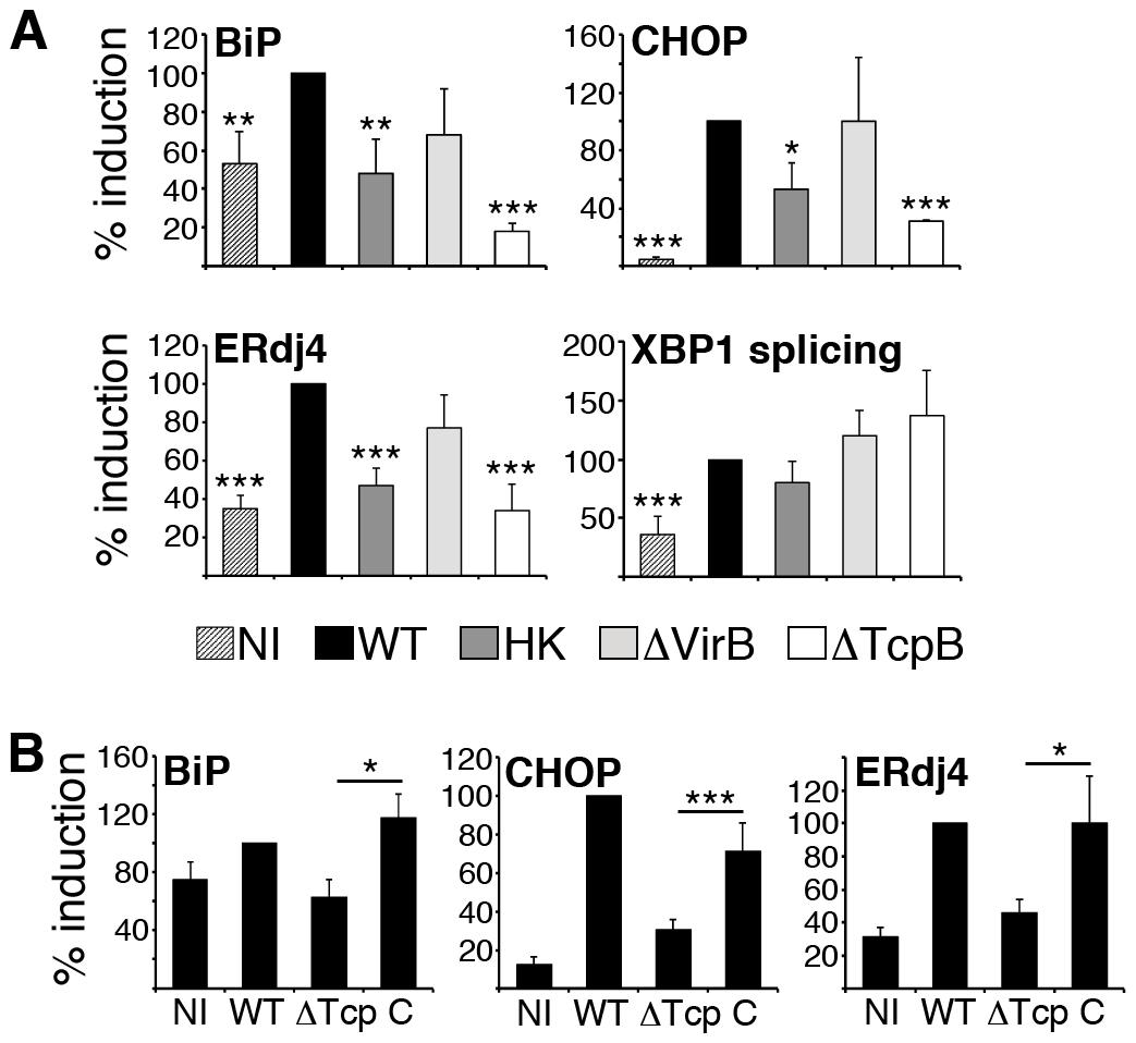 TcpB mutation reduces <i>Brucella</i>-induced UPR target gene expression.