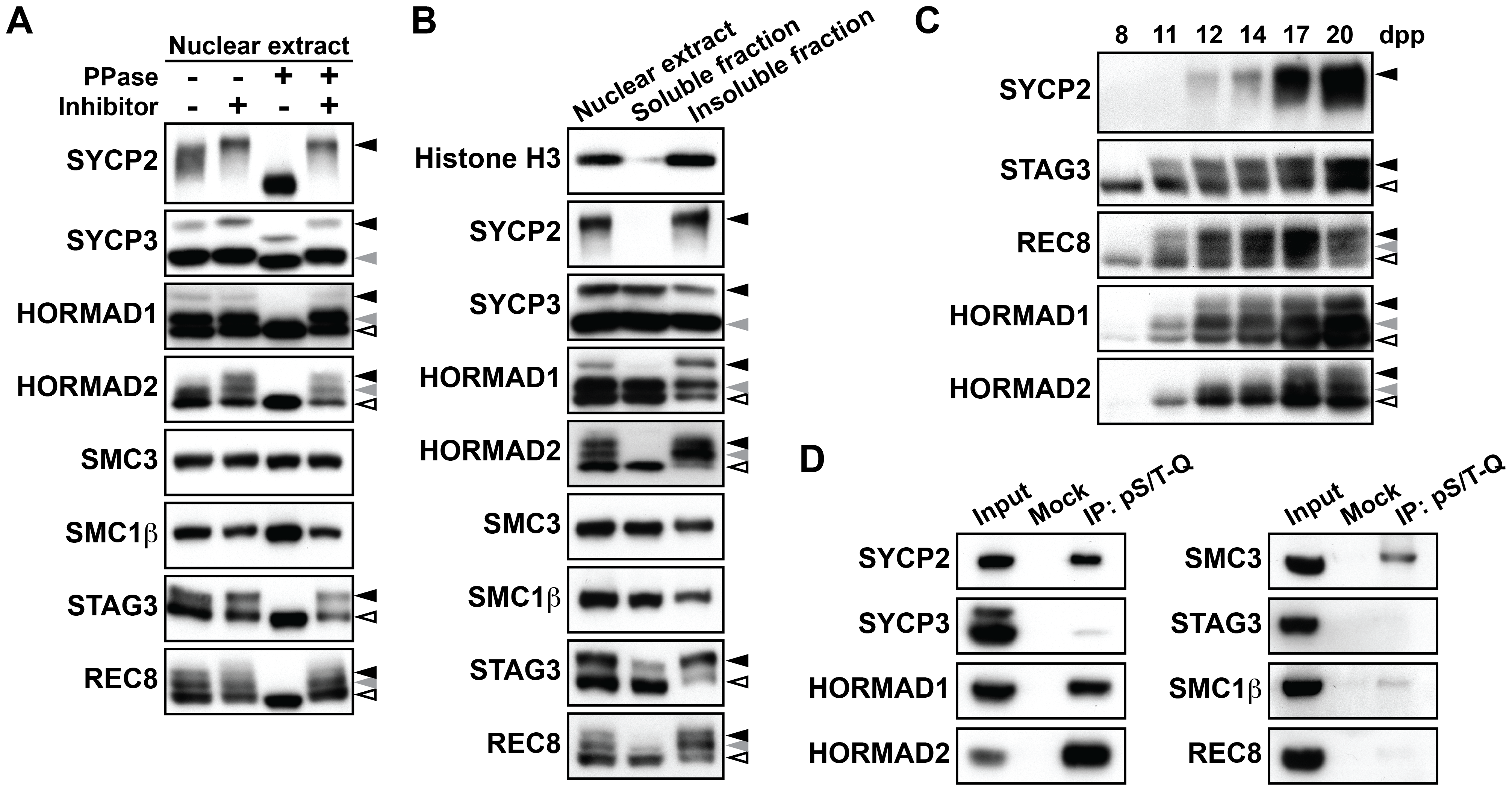 Chromosome axis proteins are phosphorylated during prophase I.