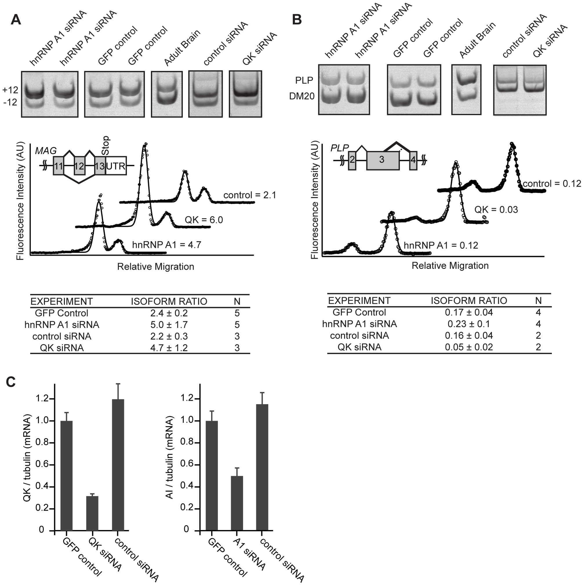hnRNP A1 co-regulates <i>Mag</i> alternative splicing.