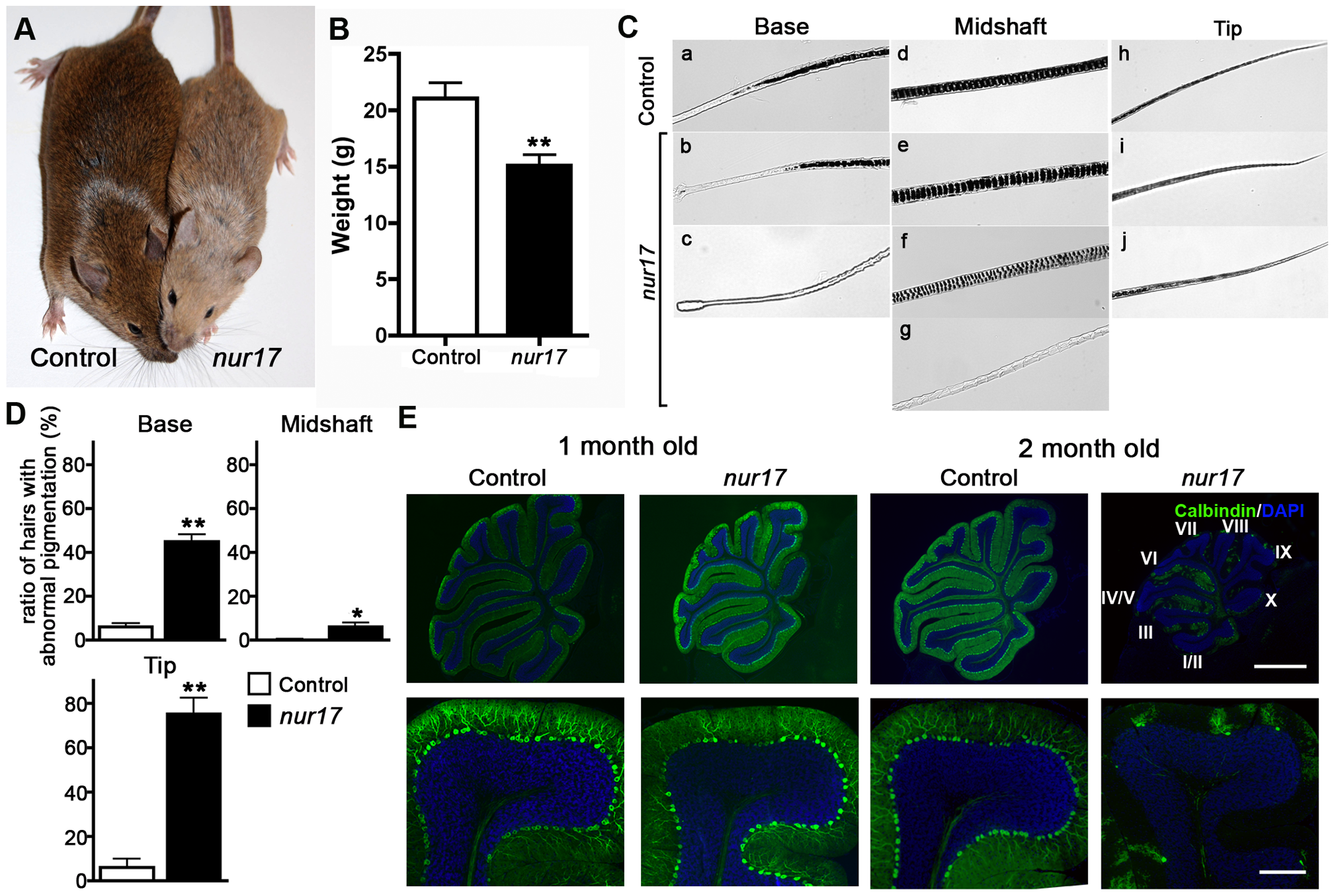 Coat color dilution and Purkinje cell degeneration in <i>nur17</i> mice.