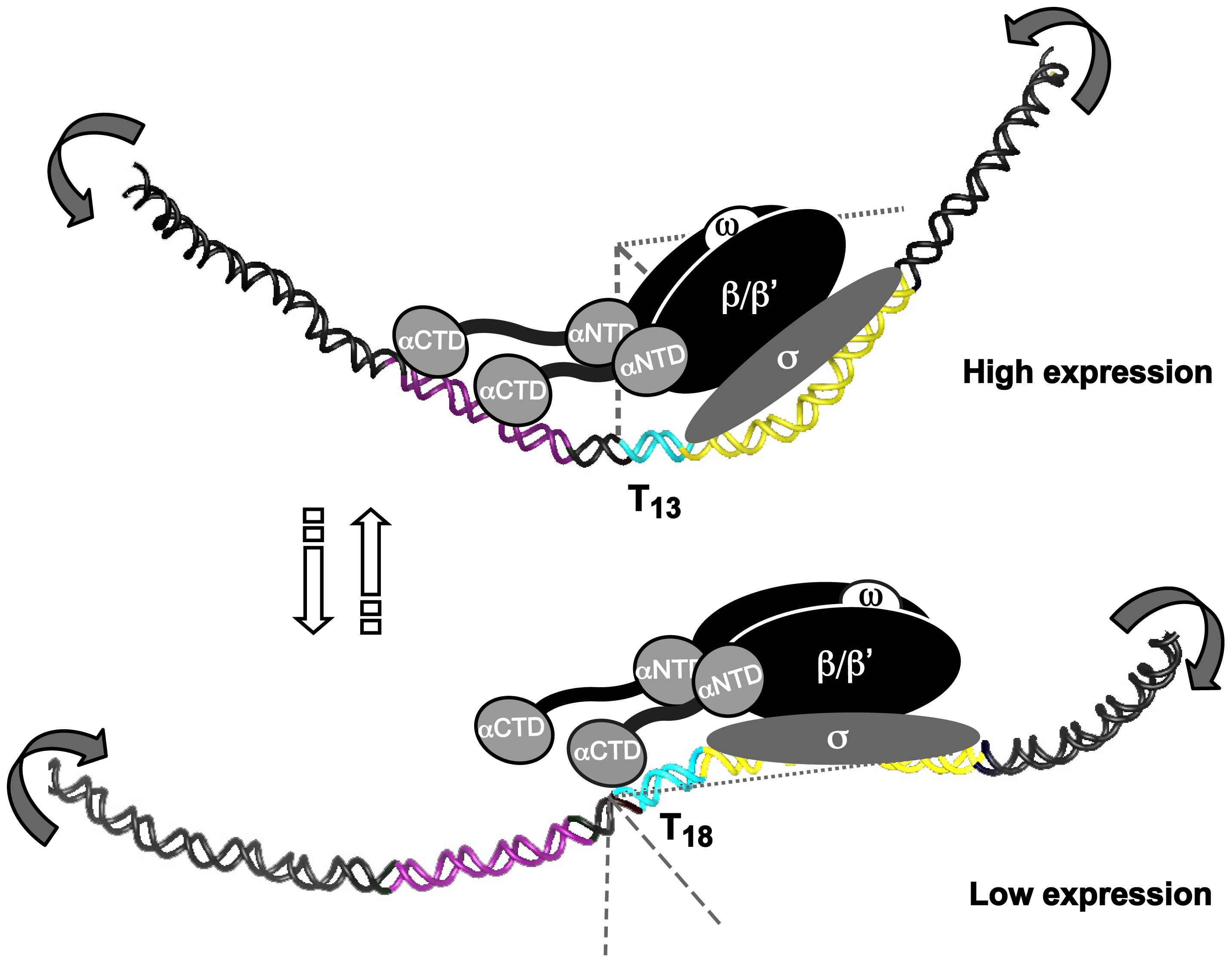 T- or A-tracts, adjacent to −35 elements, regulate gene expression by a rheostat-like mechanism.