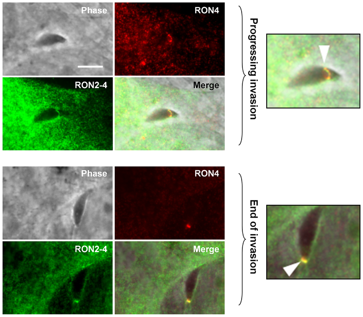 TgRON2 exposes at least one segment on the cytosolic side of the host cell plasma membrane.