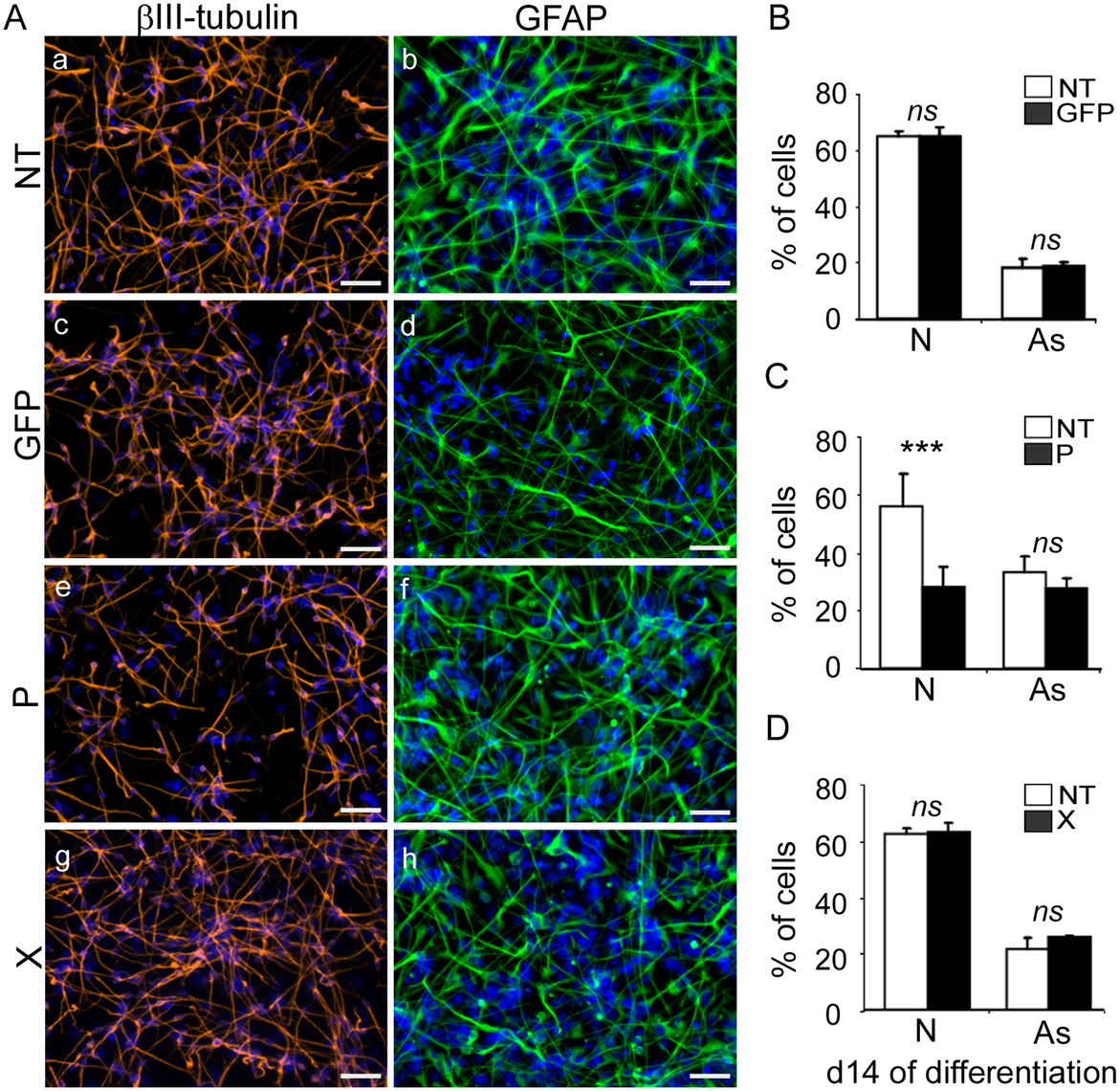Expression of the <i>bdv-p</i> but not <i>bdv-x</i> gene in hNPCs impairs neuronal differentiation.