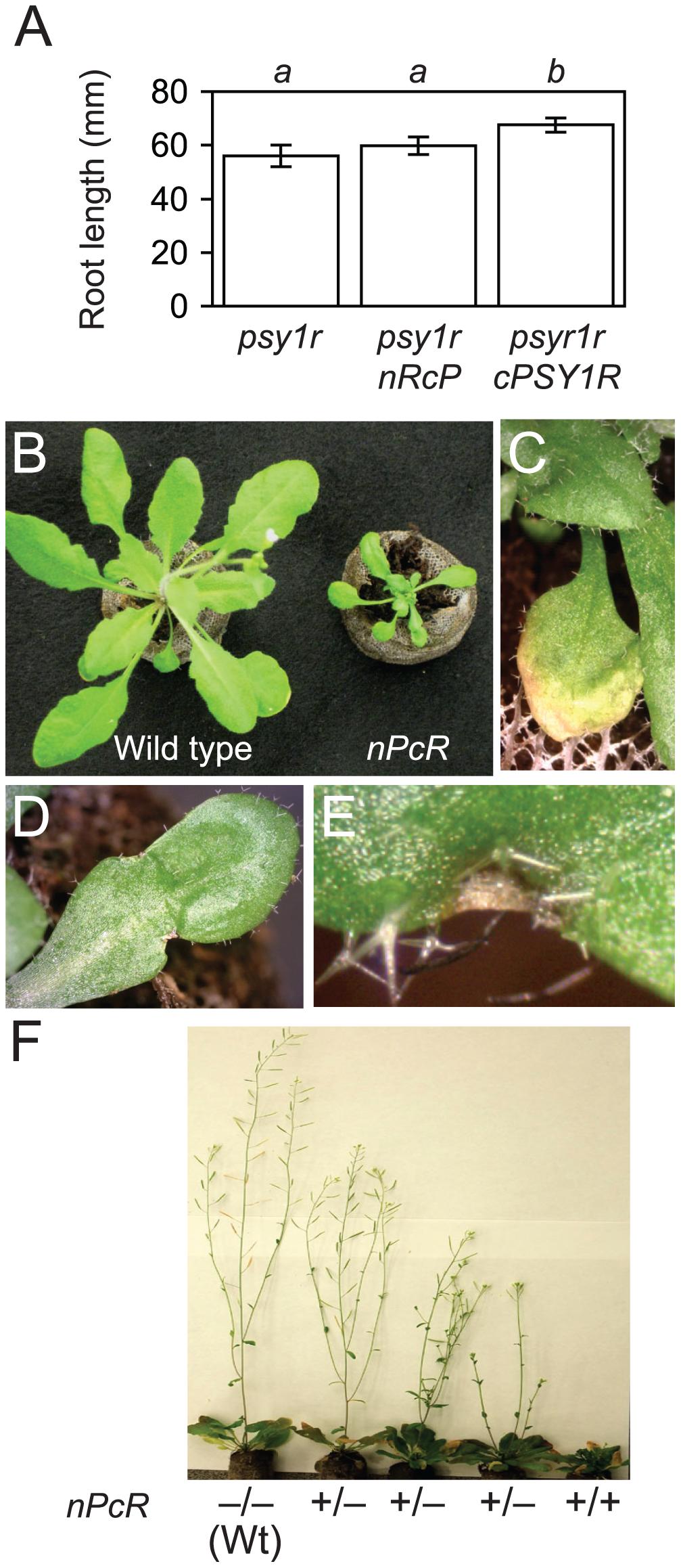Phenotypes of <i>cRFO2</i> and <i>cPSY1R</i> chimeric RLP and RLK genes.