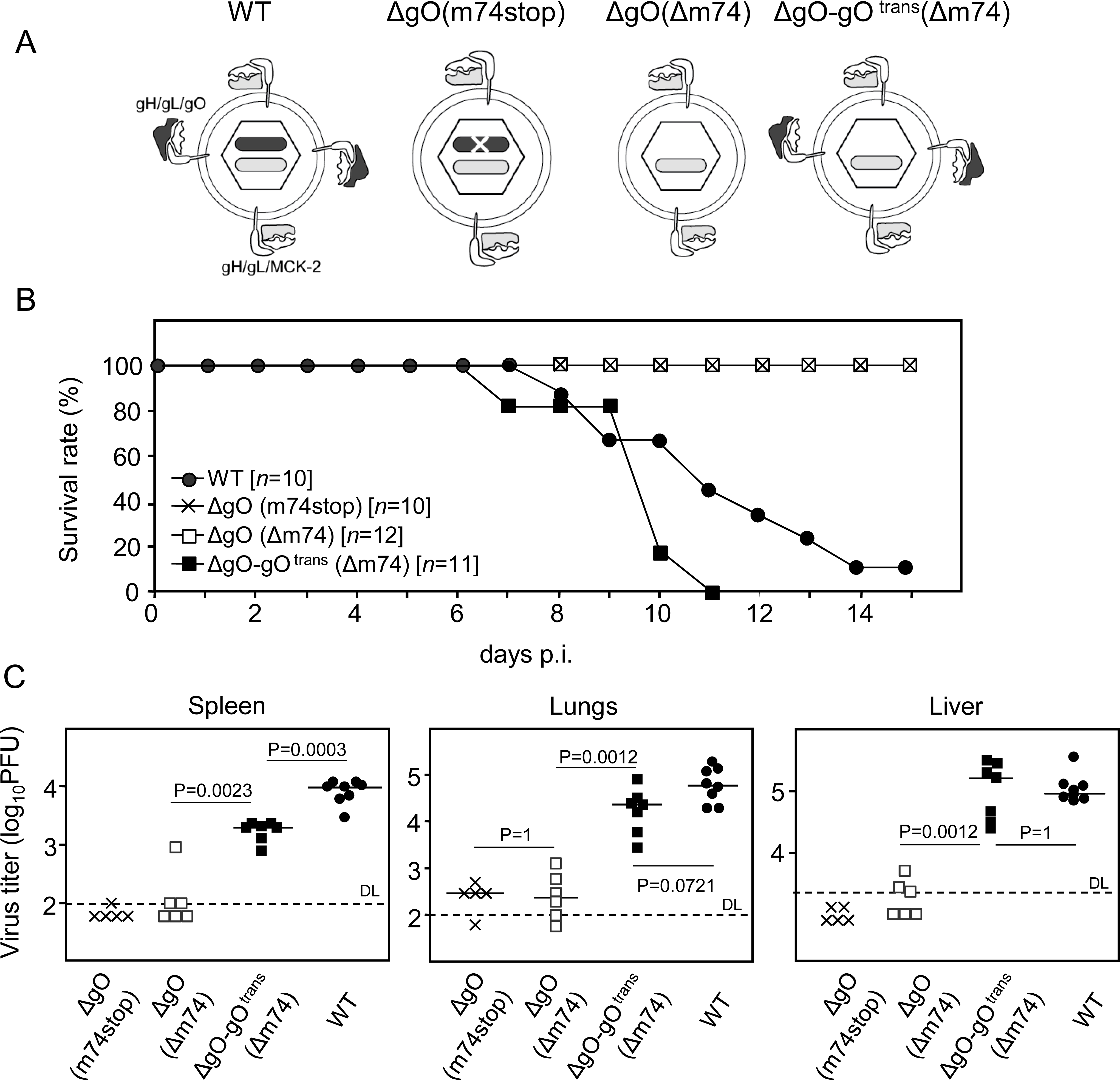 Knock-out of gO strongly impairs infection of otherwise highly-susceptible neonatal mice.