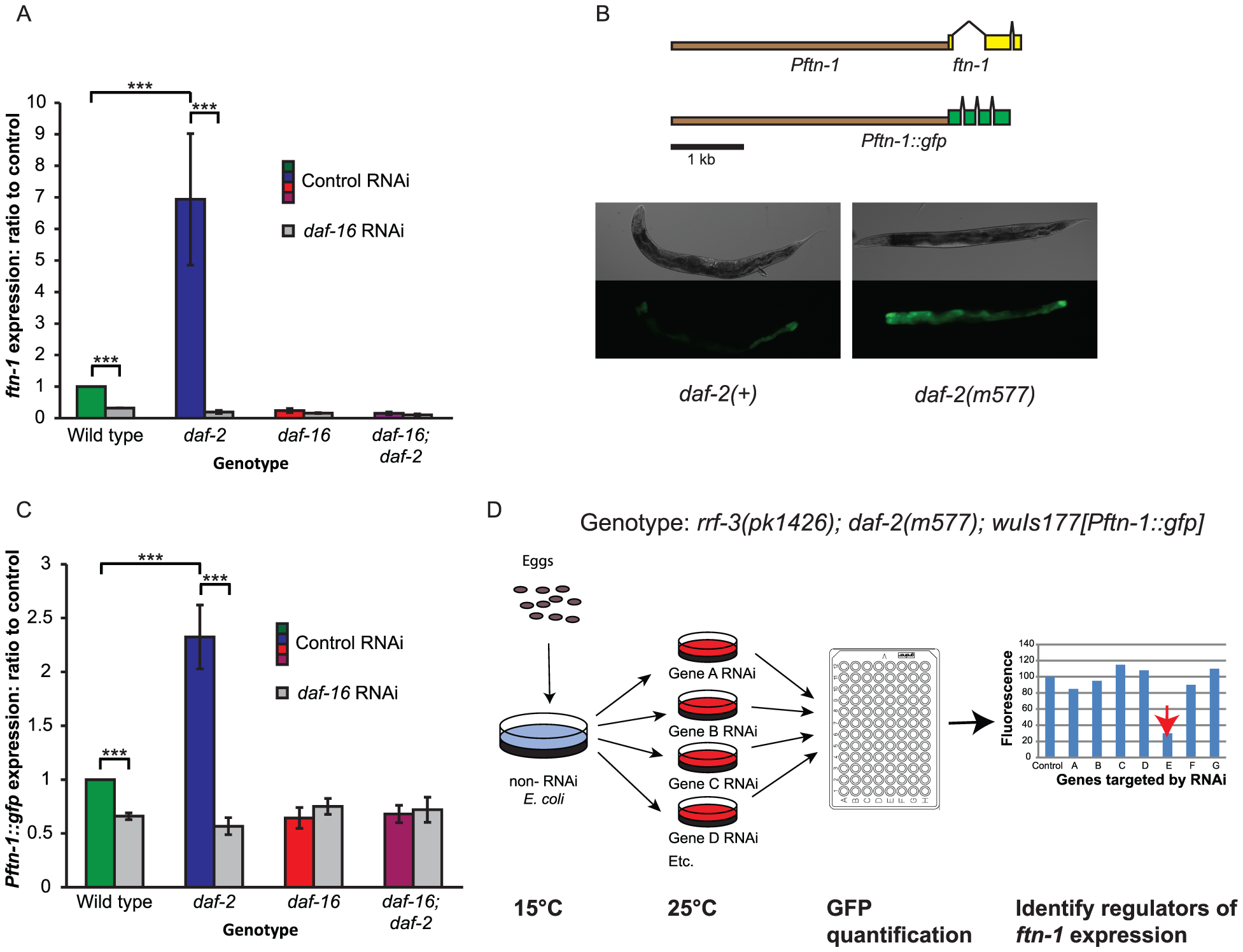 Regulation of the ferritin gene <i>ftn-1</i> by insulin/IGF-1 signaling.