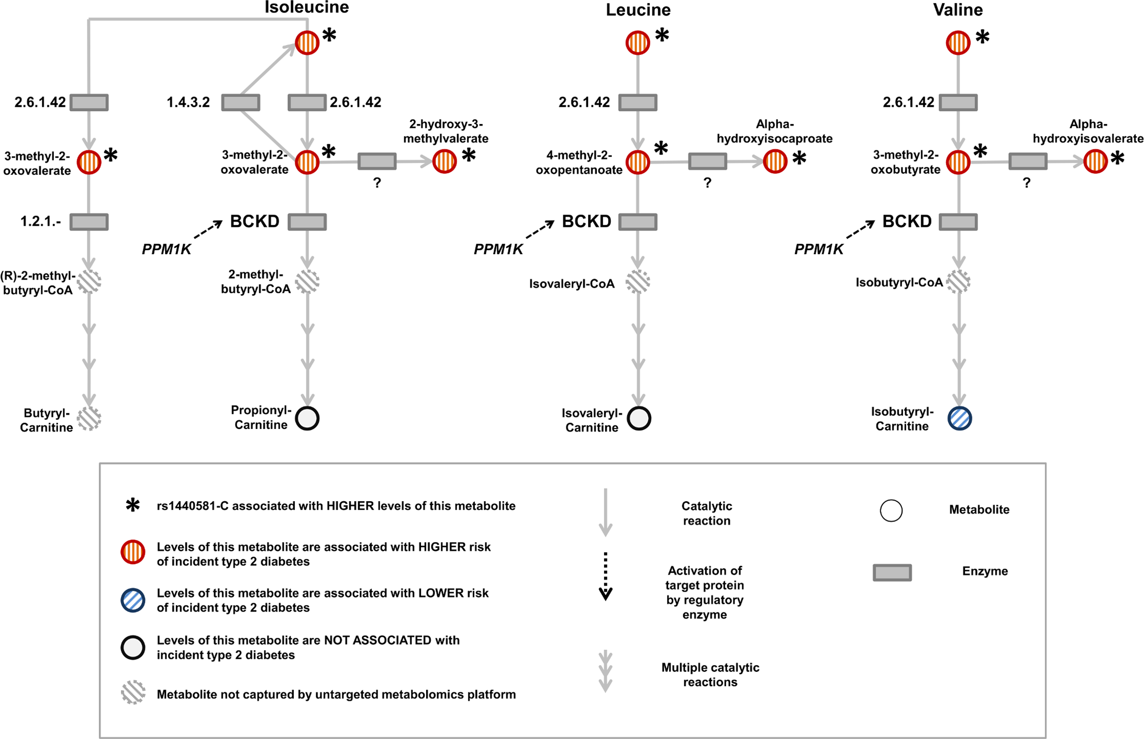 Schematic representation of the branched-chain amino acid pathway and associations with type 2 diabetes.