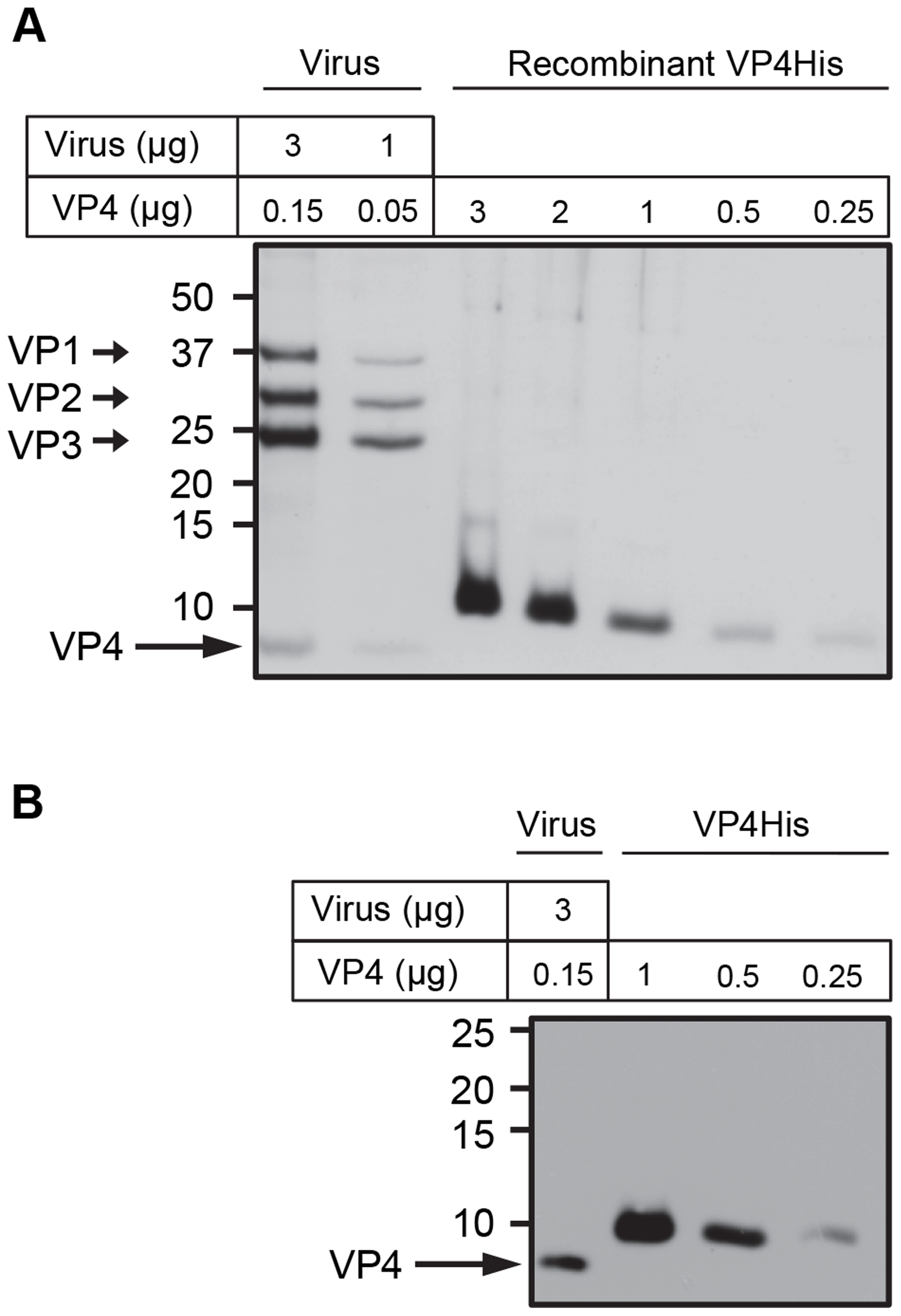 Purity and concentration of recombinant VP4 assessed by SDS-PAGE.