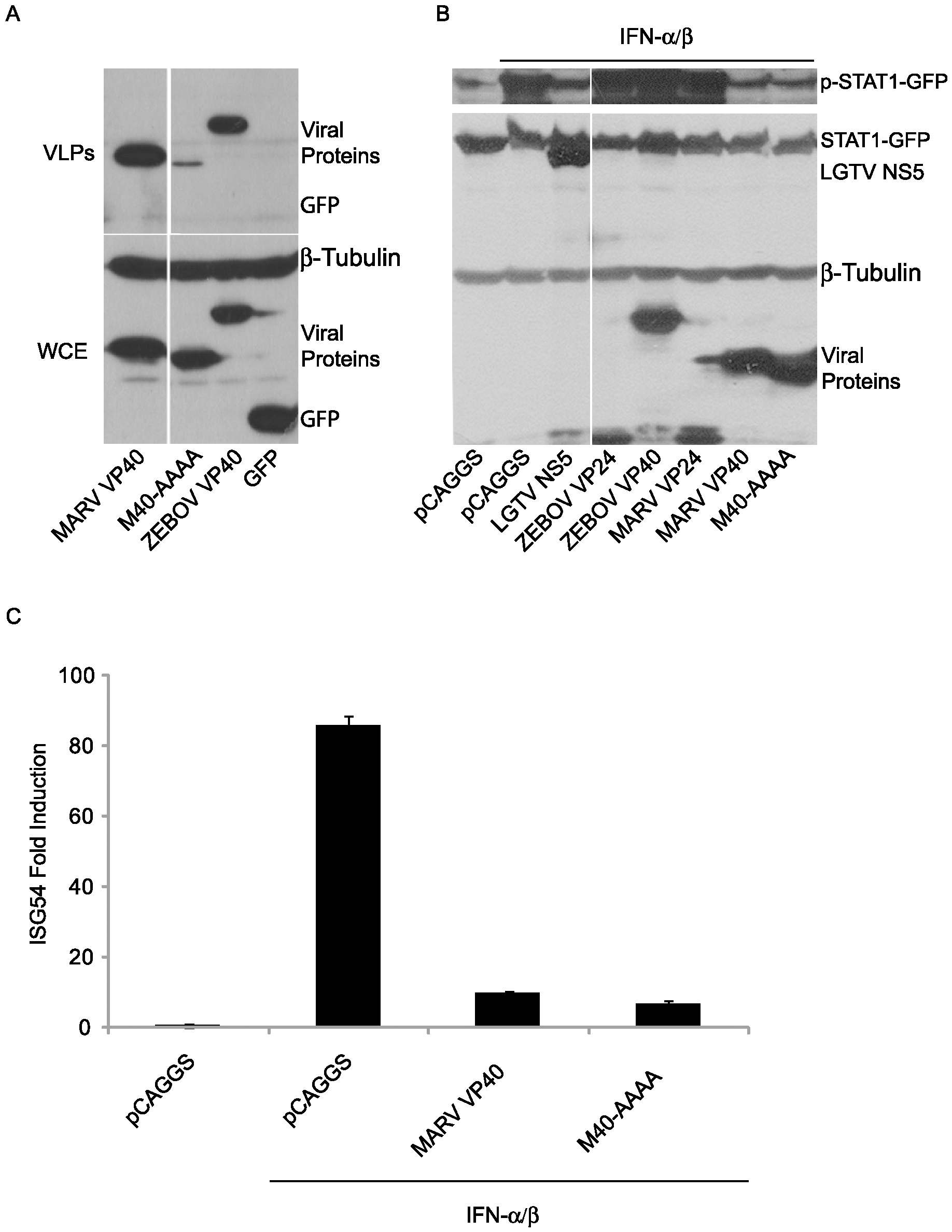 MARV VP40 inhibition of IFN signaling does not require an intact late domain.