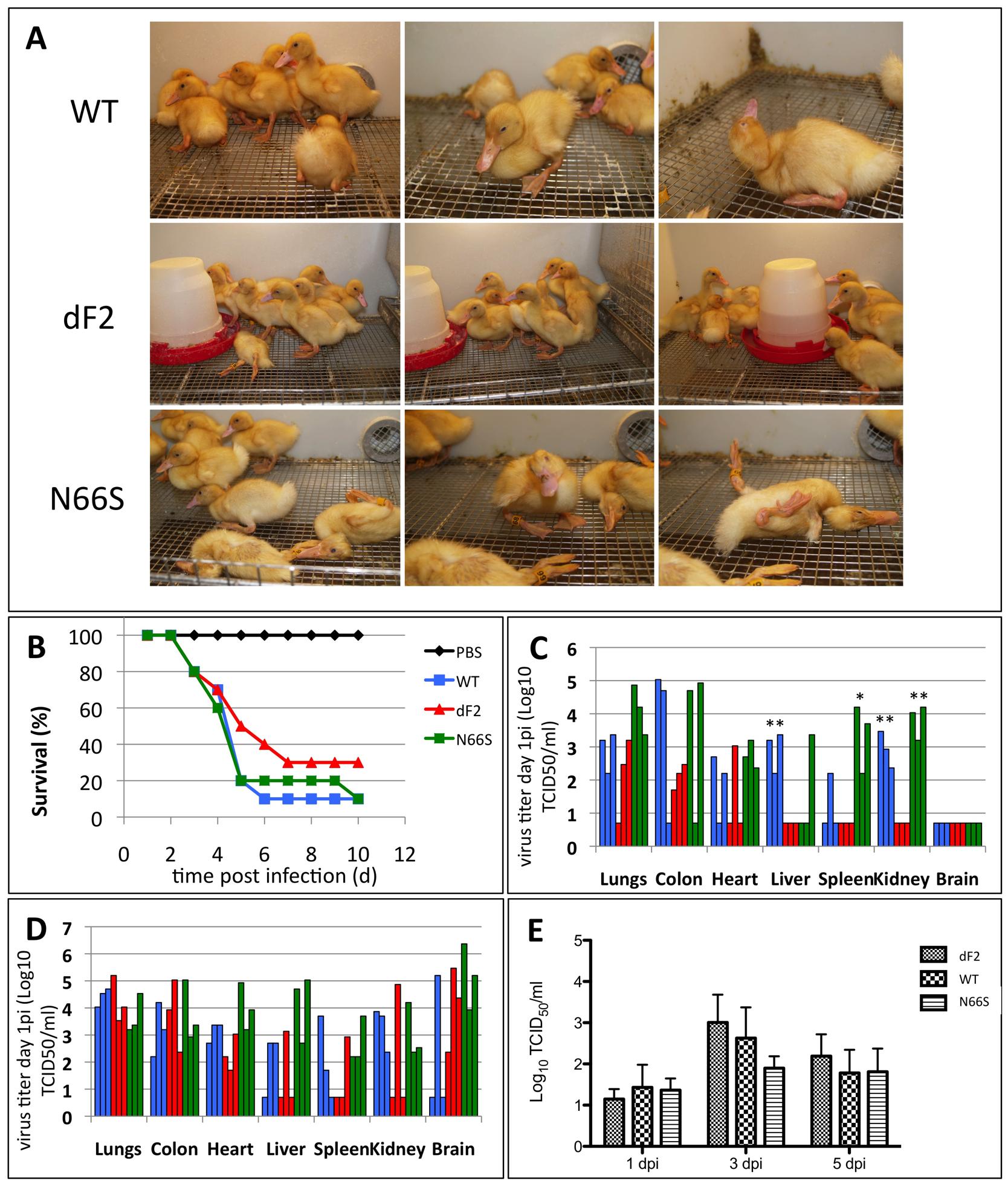 Diminished pathogenicity of PB1-F2 deficient virus in ducks.