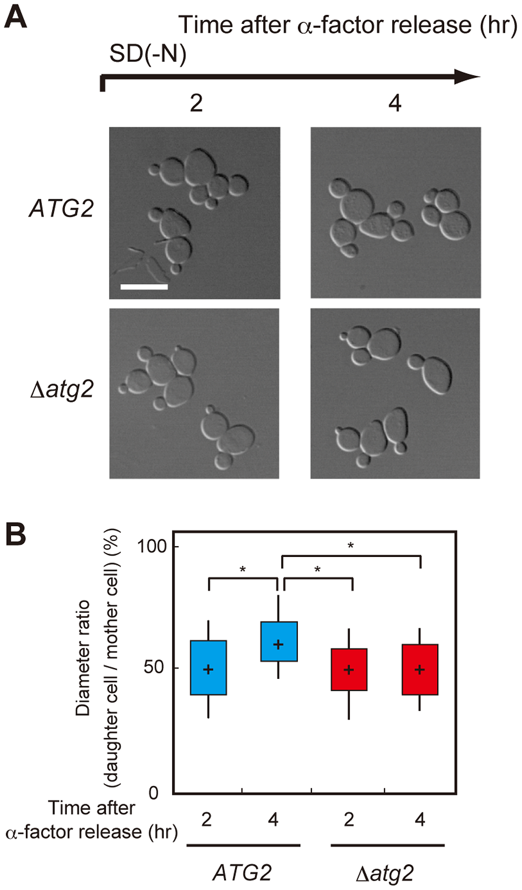 Autophagy is important for cell growth under nutrient starvation conditions.