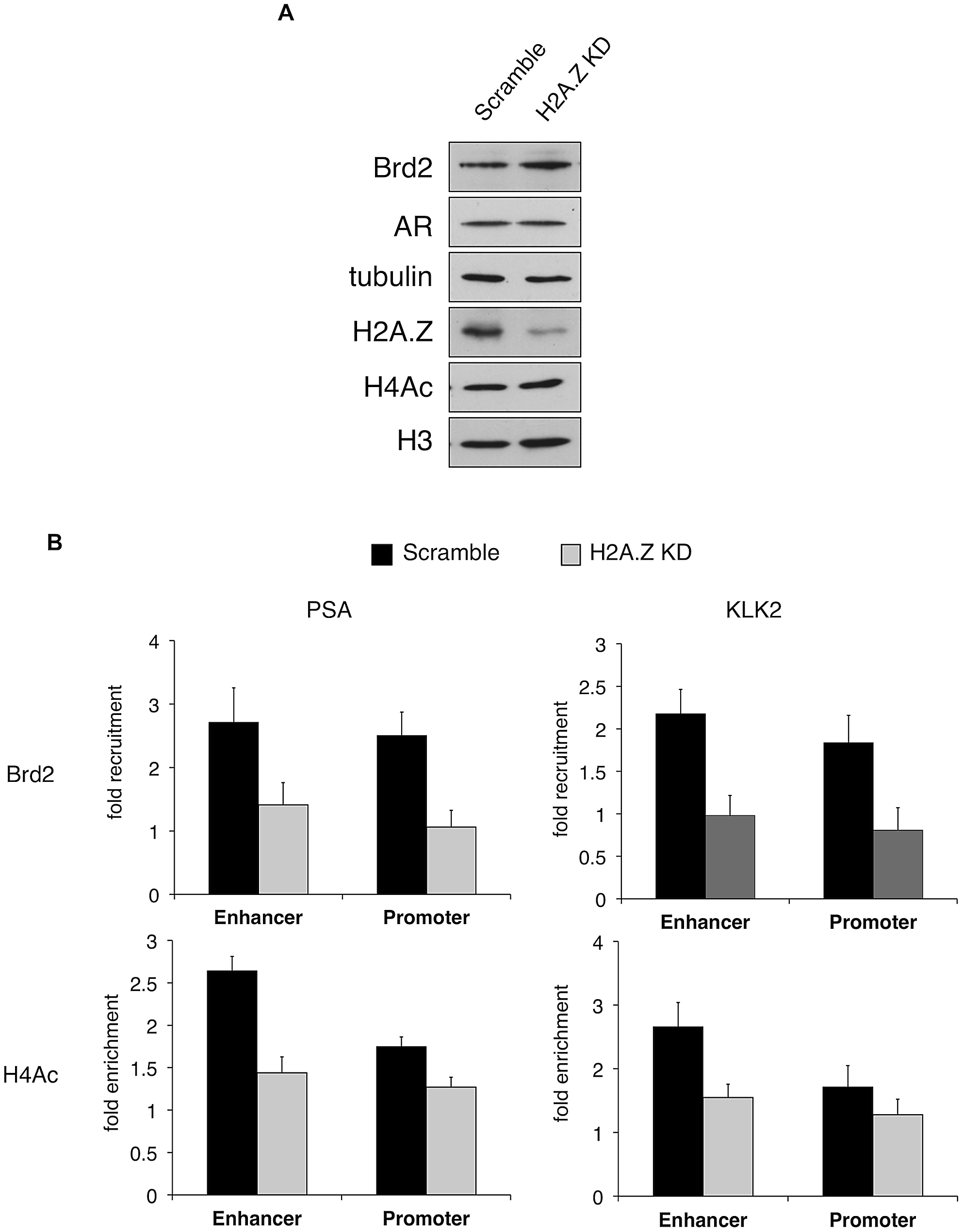 H2A.Z influences H4 acetylation and Brd2 recruitment at AR–regulated genes.