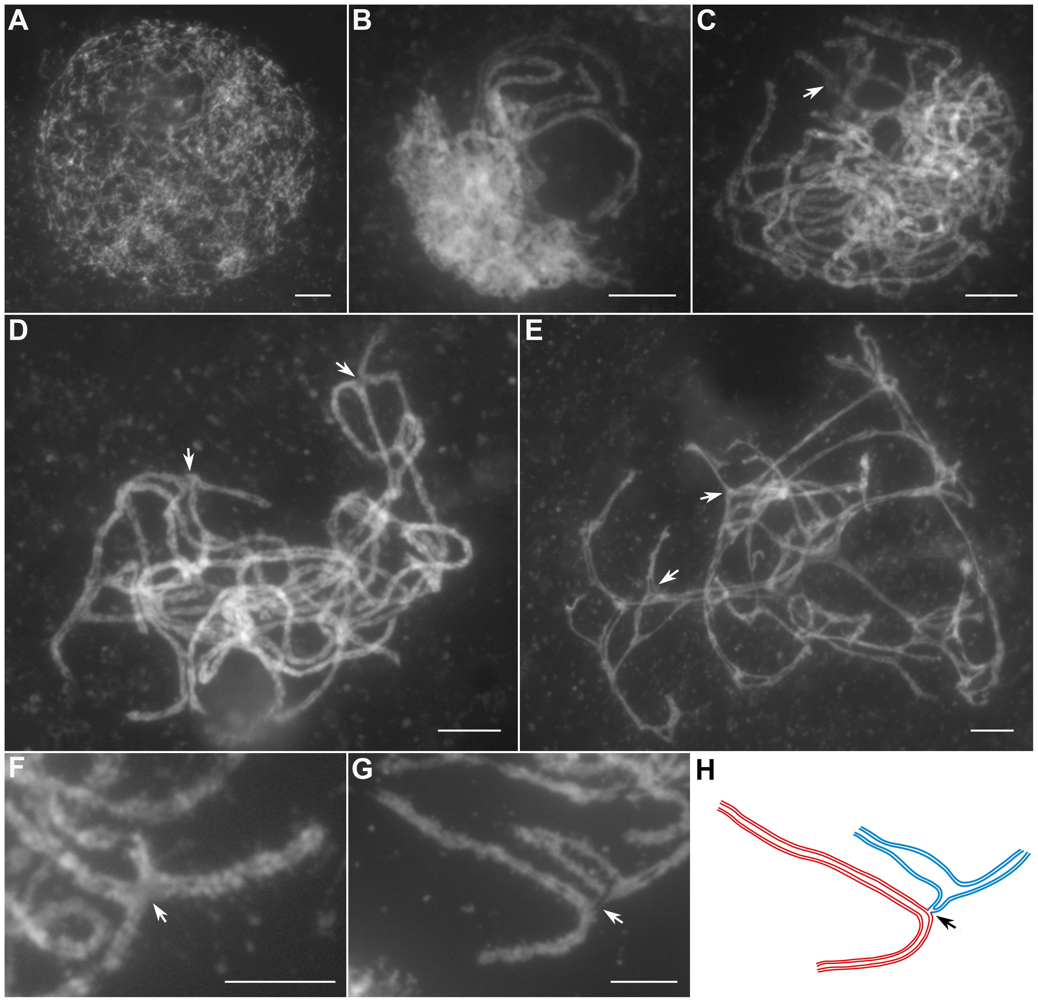 Meiotic chromosome behaviors of PMCs in the <i>Oshus1-1</i> mutant.