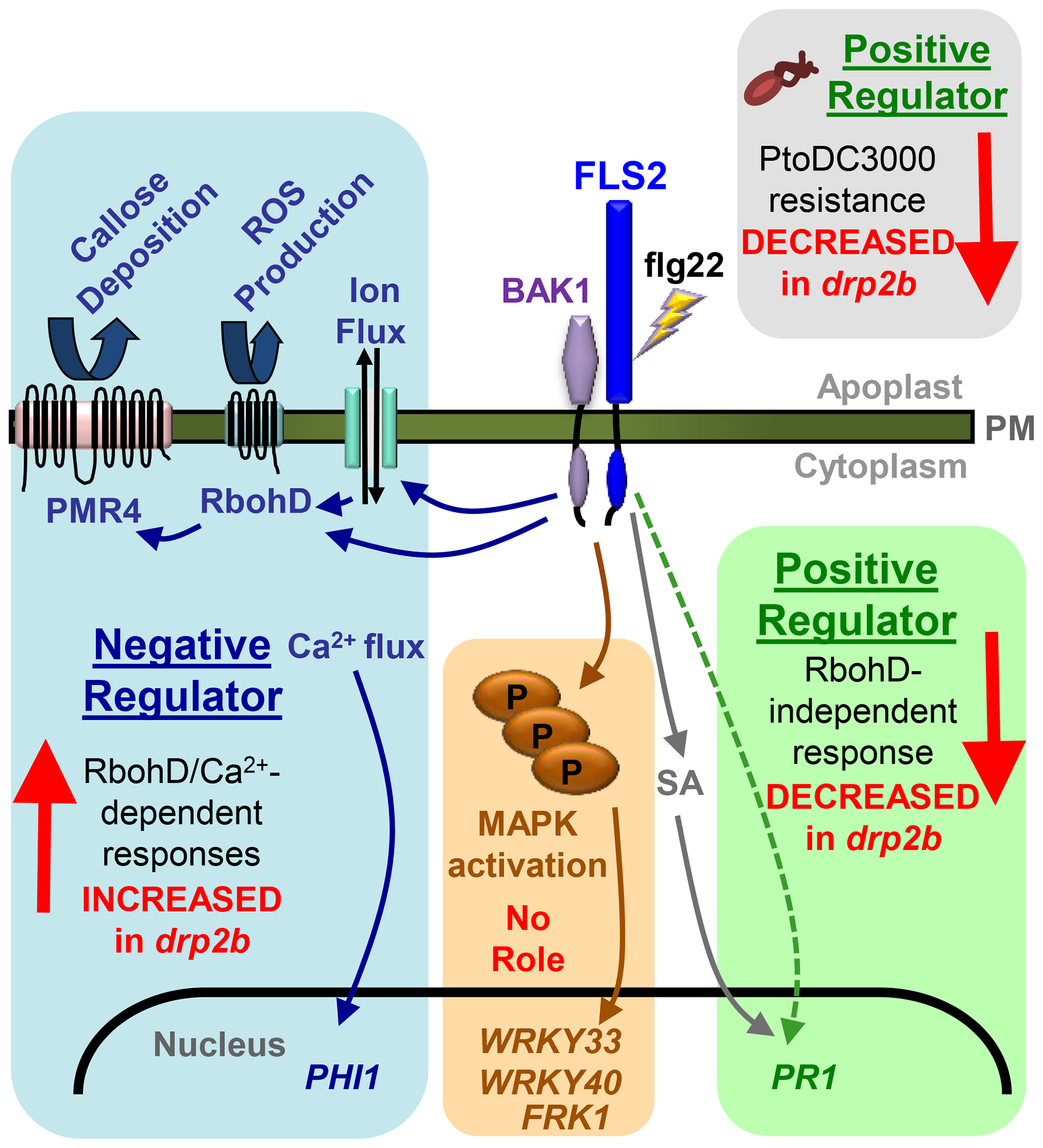 Summary of non-canonical response defects in <i>drp2b</i> within the different branches of the flg22-signaling network.
