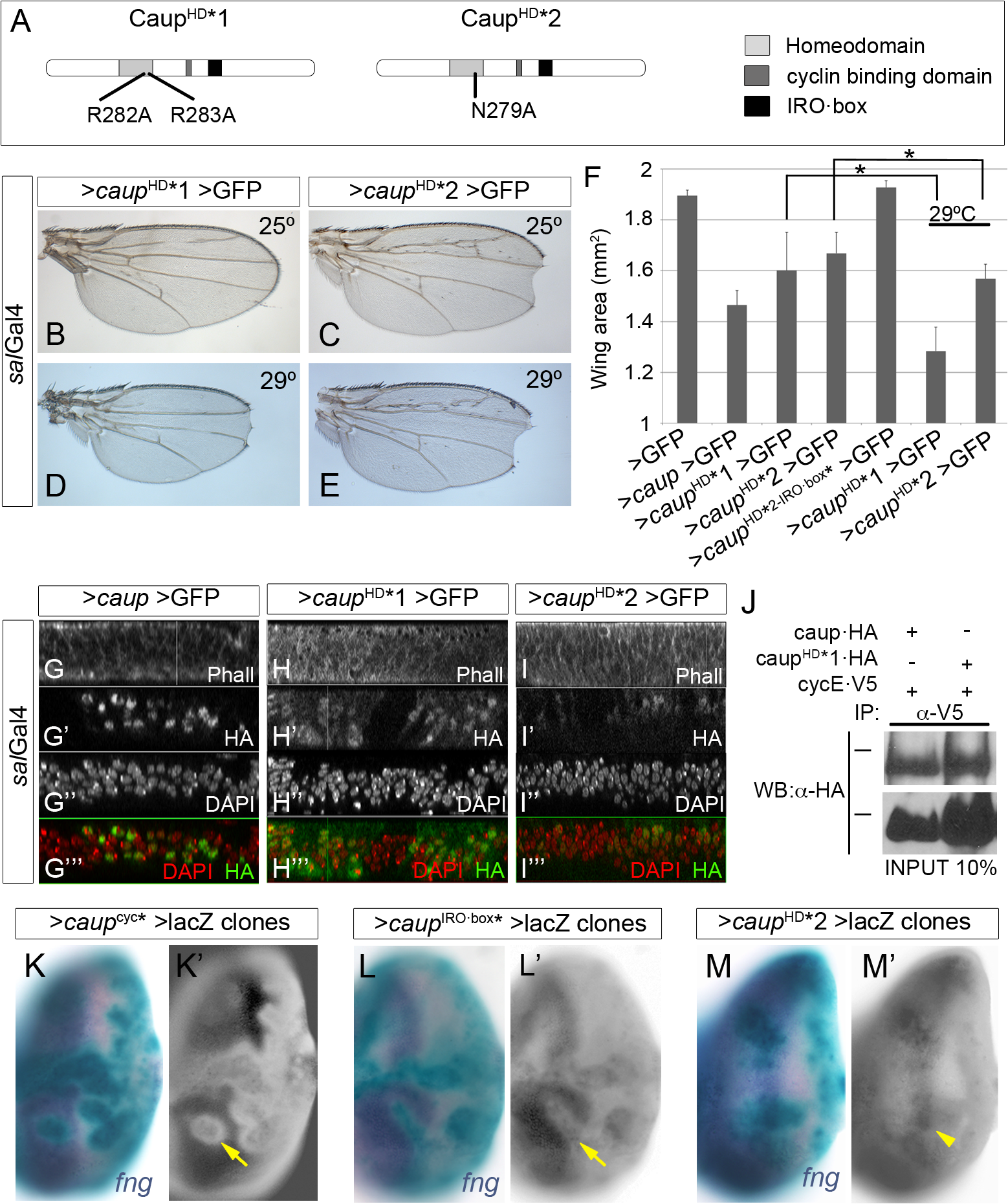 Functional analysis of homeodomain-mutant Caup proteins.