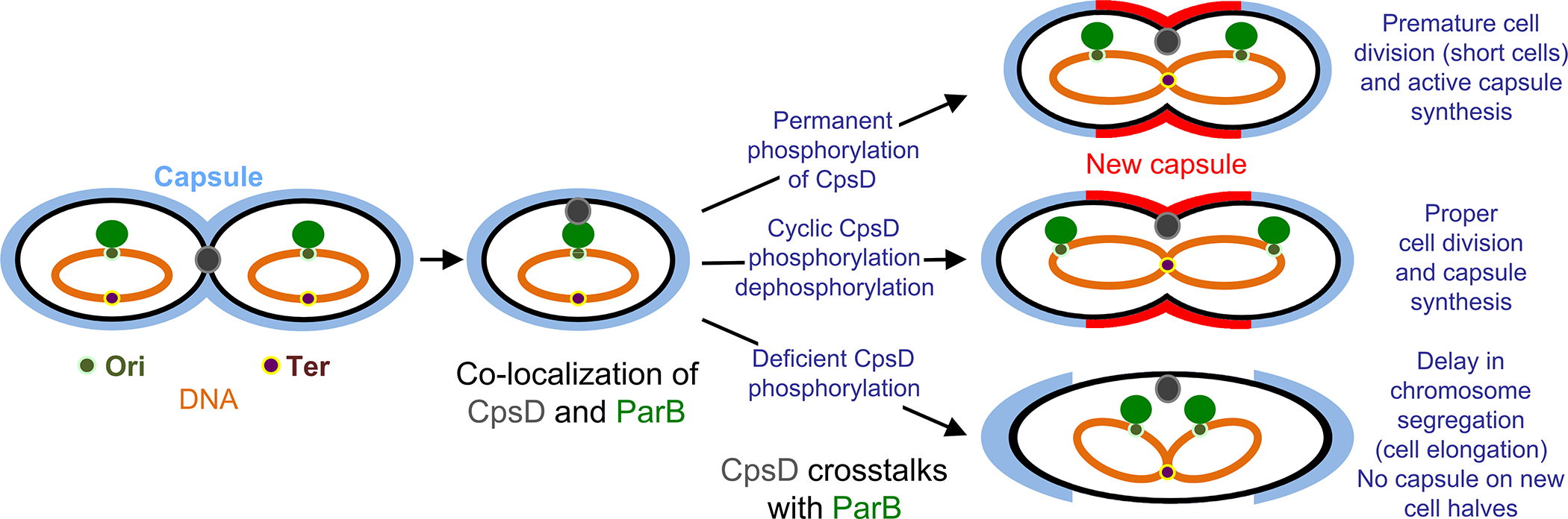 Model for CpsD-mediated coordination of CPS synthesis with the cell cycle.