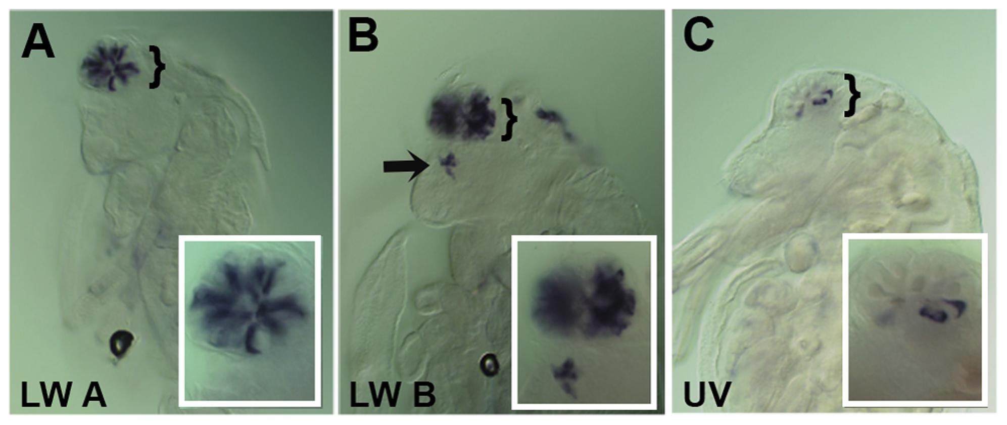 Spatial expression patterns of <i>Daphnia magna</i> r- opsins during <i>Daphnia</i> eye development.
