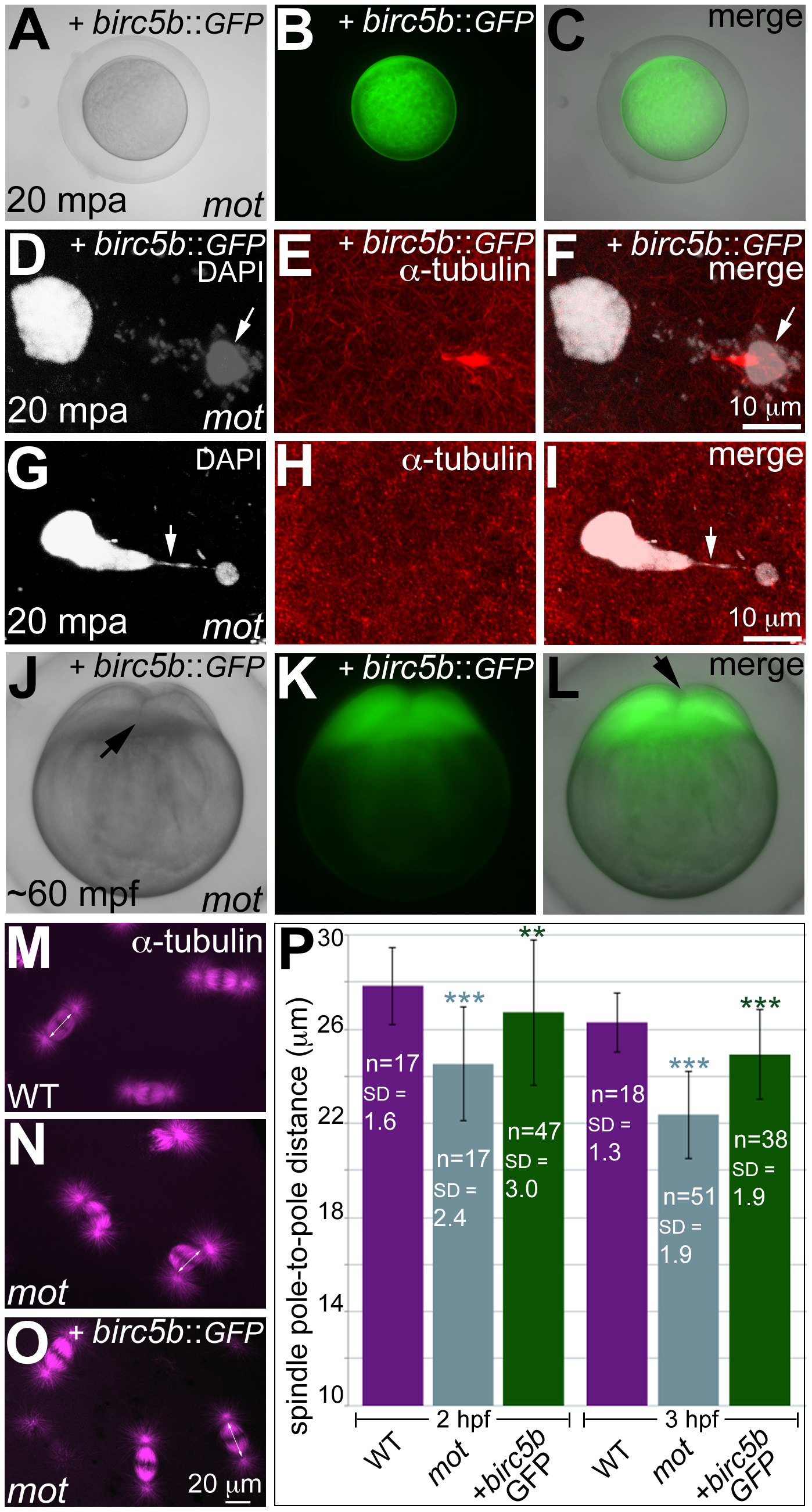 Wild-type <i>birc5b</i> rescues cell division defects in <i>motley</i> mutants.