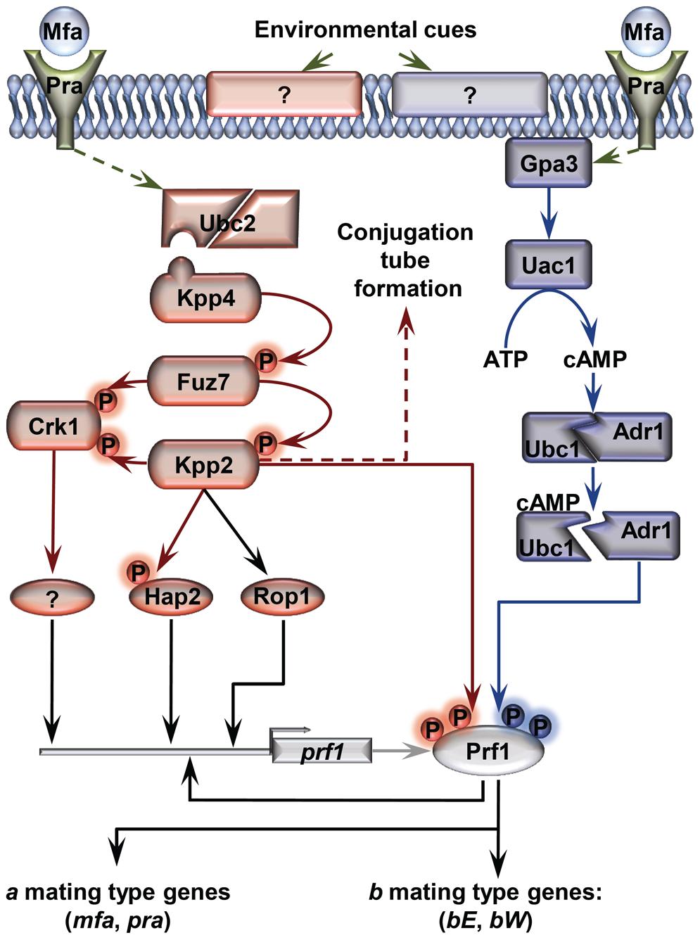 Schematic representation of the regulation of <i>U. maydis</i> mating-type gene expression.