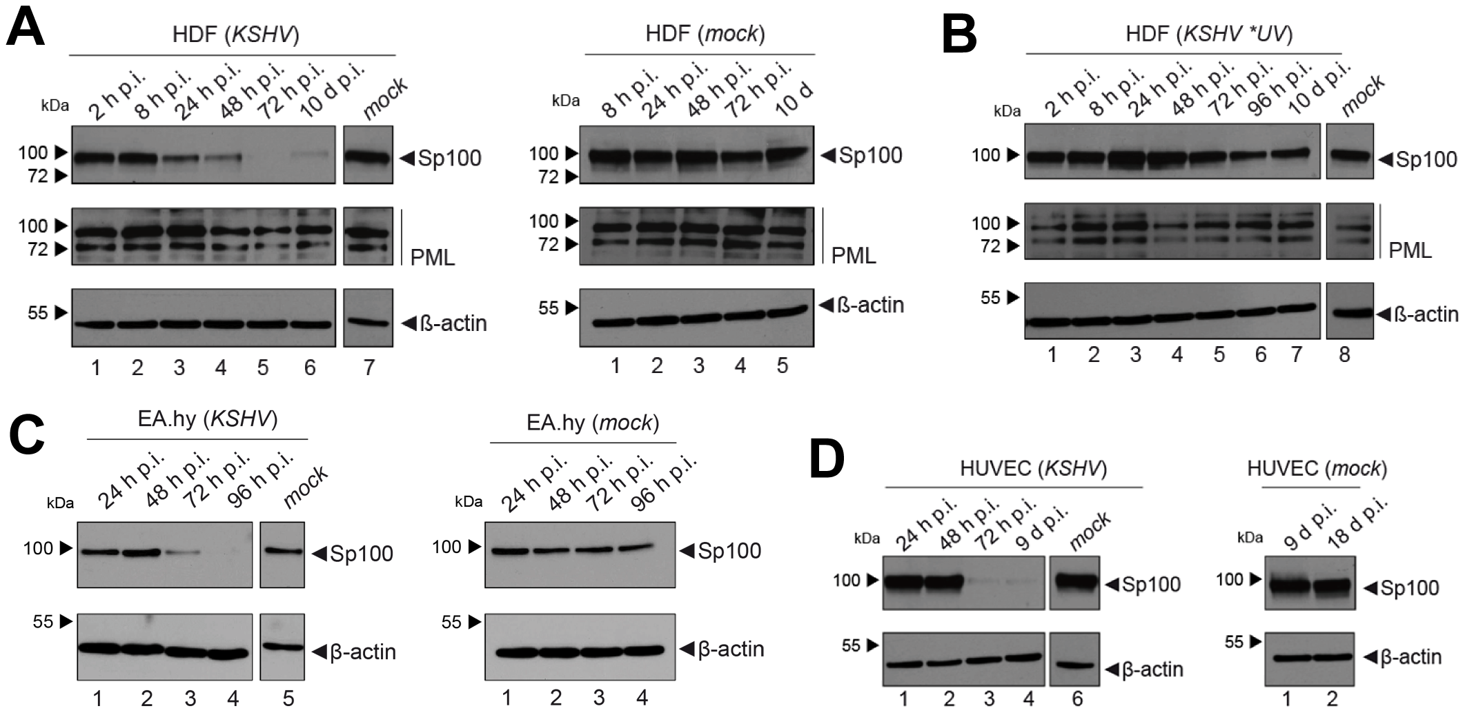 Soluble Sp100 levels are reduced upon KSHV infection of HDF, EA.hy and HUVEC cells.
