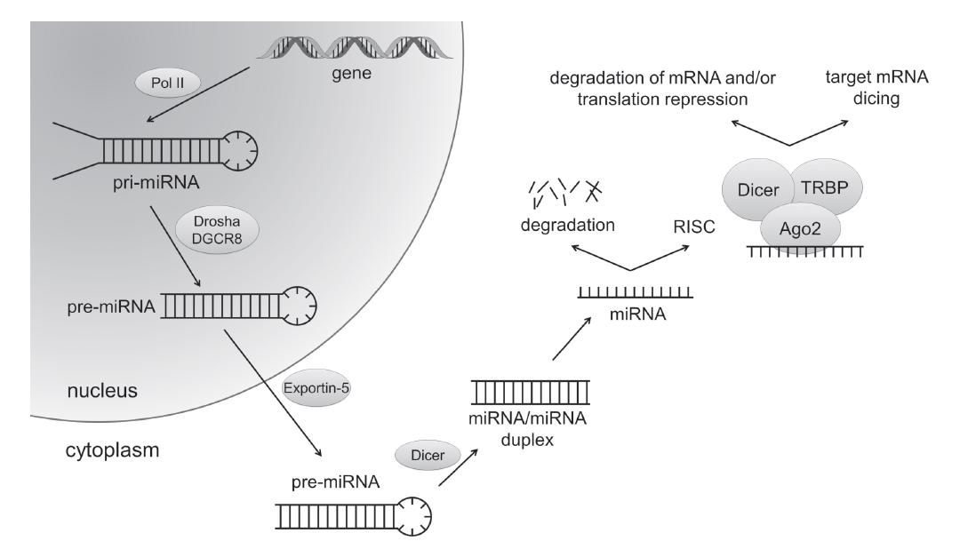 Fig. 1: MicroRNA biogenesis
