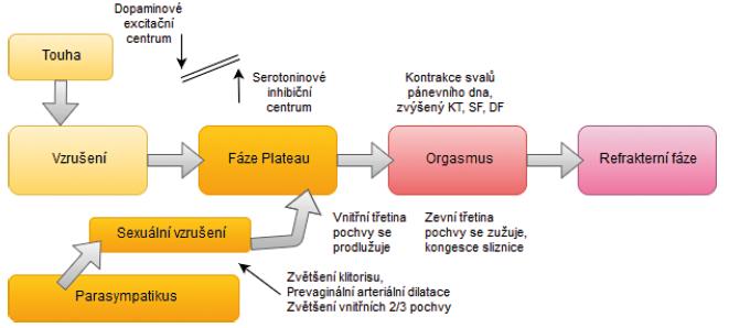 Čtyřfázový lineární model ženské sexuální odezvy (upraveno podle (14))