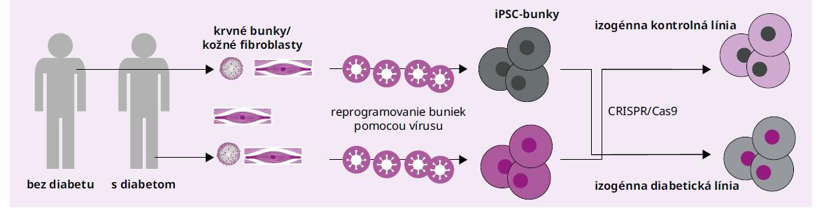 Schéma 1 Schéma vytvorenia izogénnej kontrolnej línie iPSC a izogénnej diabetickej línie iPSC. Od zdravého jedinca bez diabetu, resp. od pacienta s monogénovým diabetom sú izolované mononukleárne bunky z periférnej krvi alebo kožné fibroblasty, ktoré sú následne pomocou RNA-vírusového vektora reprogramované na iPSC-bunky. Pomocou metódy CRIPSR/Cas9 môže byť do DNA v iPSC od zdravého jedinca vnesená patogénna mutácia, ktorú chceme študovať a sledovať jej účinky napr. na vývoj, funkciu a sekrečnú schopnosť diferencovaných B-buniek. Naopak, pomocou CRISPR/Cas9 môžeme odstrániť patogénnu mutáciu z genómu iPSC-buniek od pacienta s monogénovým diabetom, čím získame jedinečnú izogénnu kontrolnú líniu. Upravené podľa [80]