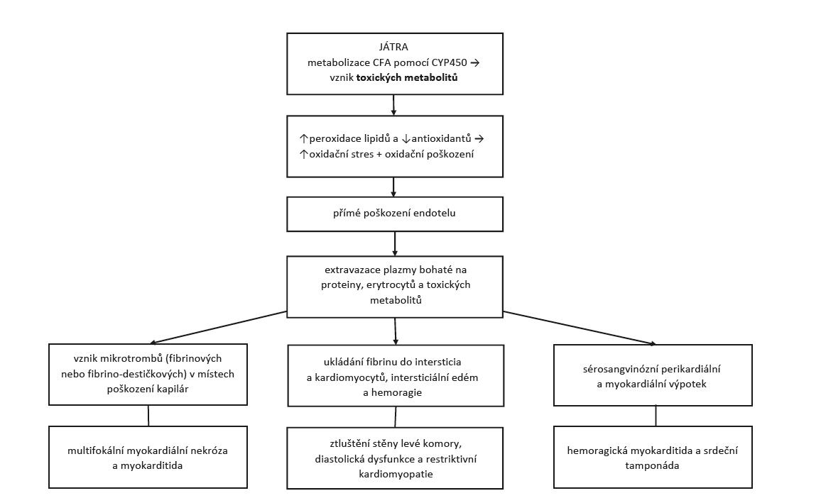 Patofyziologie a klinické projevy cyklofosfamidem indukovaného postižení srdce (upraveno dle Dhesi et al. (4)