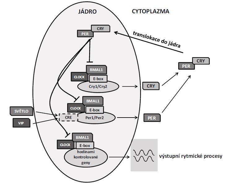 Transkripční aktivátory (BMAL1 a CLOCK) indukují transkripci represorů (CRY1, CRY2, PER1, PER2) vazbou k E-boxu v jejich promotorových sekvencích. Ty po vstupu do jádra inhibují aktivitu aktivátorů CLOCK/BMAL1 a zároveň jsou substrátem pro posttranslační modifi kace a řízenou proteinovou degradaci. Když jejich hladina klesne dostatečně, aktivátory CLOCK/BMAL1 se uvolní a cyklus začíná znovu. Hladiny transkriptů i proteinů hodinových genů takto oscilují v buňkách s cirkadiánní periodou. Dynamiku těchto oscilací mění exprese Per1 a Per2 spouštěná aktivací CRE místa v promotoru těchto genů signalizací VIP nebo/a světelnými stimuly. Transkripční aktivátory však neindukují transkripci pouze vlastních represorů, ale také velké skupiny tzv. hodinami kontrolovaných genů, jejichž proteiny nemají přímou zpětnou vazbu v cirkadiánním mechanizmu, ale mají vlastní, tkáňově specifickou funkci. Genomové studie ukázaly, že až 10 % genové transkripce může být regulováno cirkadiánním mechanizmem [19]. VIP – vazoaktivní intestinální peptid<br> Fig. 1. Transcriptional activators (BMAL1 and CLOCK) induce transcription of repressors (CRY1, CRY2, PER1, PER2) by binding to the E-box element in their promoter sequences. The repressors inhibit the activity of CLOCK/BMAL1 after translocation to the nucleus and they are simultaneously a substrate for post-translational modifications and controlled protein degradation. Upon significant decrease in the repressors levels, the activators CLOCK/BMAL1 are released and the cycle commences again. The levels of transcripts and protein products of clock genes oscillate with circadian period in the cells. The dynamics of these oscillations are changed by expression of Per1 and Per2 triggered by activation of CRE via VIP signalization and/or photic stimulation. The transcriptional activators induce transcription of their own repressors as well as large groups of clock-controlled genes. The proteins of clock-controlled genes do not have direct feedback to t