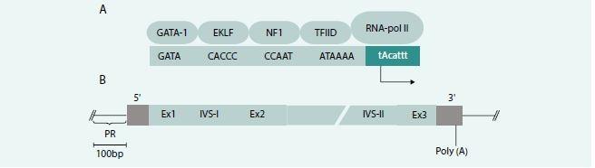 Schéma 3. Struktura β-globinového genu. (A)