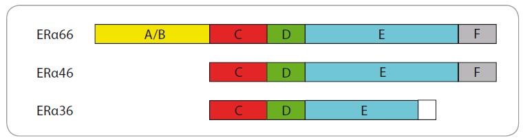 Schéma 2. Izoformy ERα. Jednotlivé izoformy ERα se vzájemně liší počtem domén, ze kterých se skládají. Kompletní estrogenový receptor ERα66 jich má 5. Mezi jeho známé izoformy patří ERα46 a ERα36. Ve srovnání s ERα66 postrádá ERα46 na svém N-konci doménu A/B. U ERα36 chybí kromě toho ještě na C-konci doména F a část domény E, která váže ligand. Místo toho zde má 27 unikátních aminokyselin.