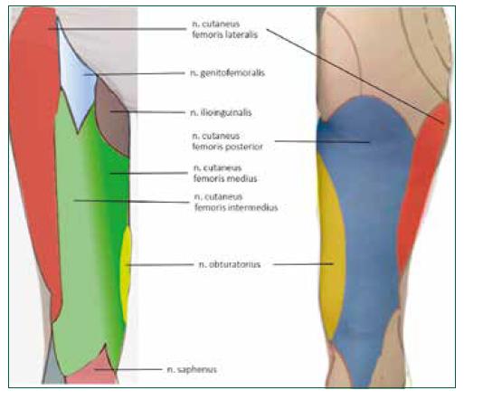 Schematické znázornění inervace kůže v oblasti stehna. Ve skutečnosti existuje velká individuální variabilita a hranice mezi jednotlivými oblastmi jsou široké. Prolnutí zelených barev na přední straně naznačuje hranice mezi NCFM a NFCIM