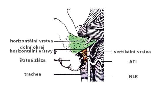 Horizontální a vertikální vrstvy ligamenta Berry<br> Fig. 6: The horizontal and vertical layers of the ligament of Berry