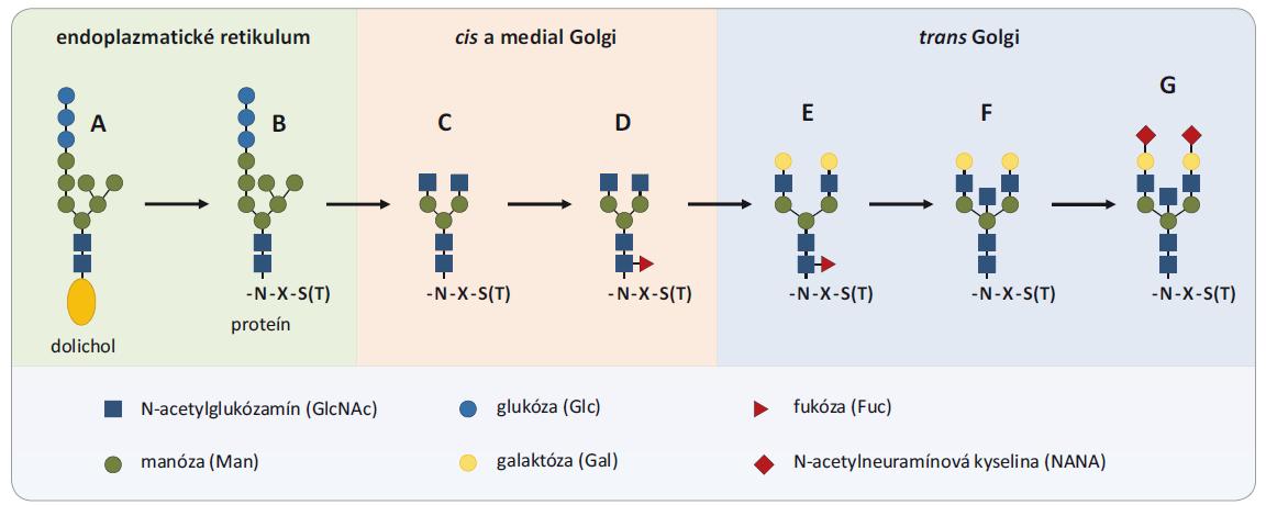 Proces glykozylácie. Proces glykozylácie začína v endoplazmatickom retikule, kde je štruktúra Glc3Man9GlcNAc2 prenesená z molekuly dolicholilu (A) ukotveného v membráne na asparagín (N) v sekvencii novo syntetizovaného proteínu (B). Postupne je takýto glykoproteín transportovaný do Golgiho aparátu, kde je štruktúra prekurzorového glykánu spracovaná na štruktúru Man3GlcNAc2 s dvomi anténami (C), ktorá tvorí základ všetkých N-glykozylácií. Na toto jadro môžu byť pridávané molekuly galaktózy, fukózy, N-acetylglukózamínu a kyseliny N-acetylneuramínove (D – core-fukozylácia, E – digalaktózovaný glykán, F – bisektínový glykán, G – disialylovaný glykán). Prevzaté a upravené z [9].