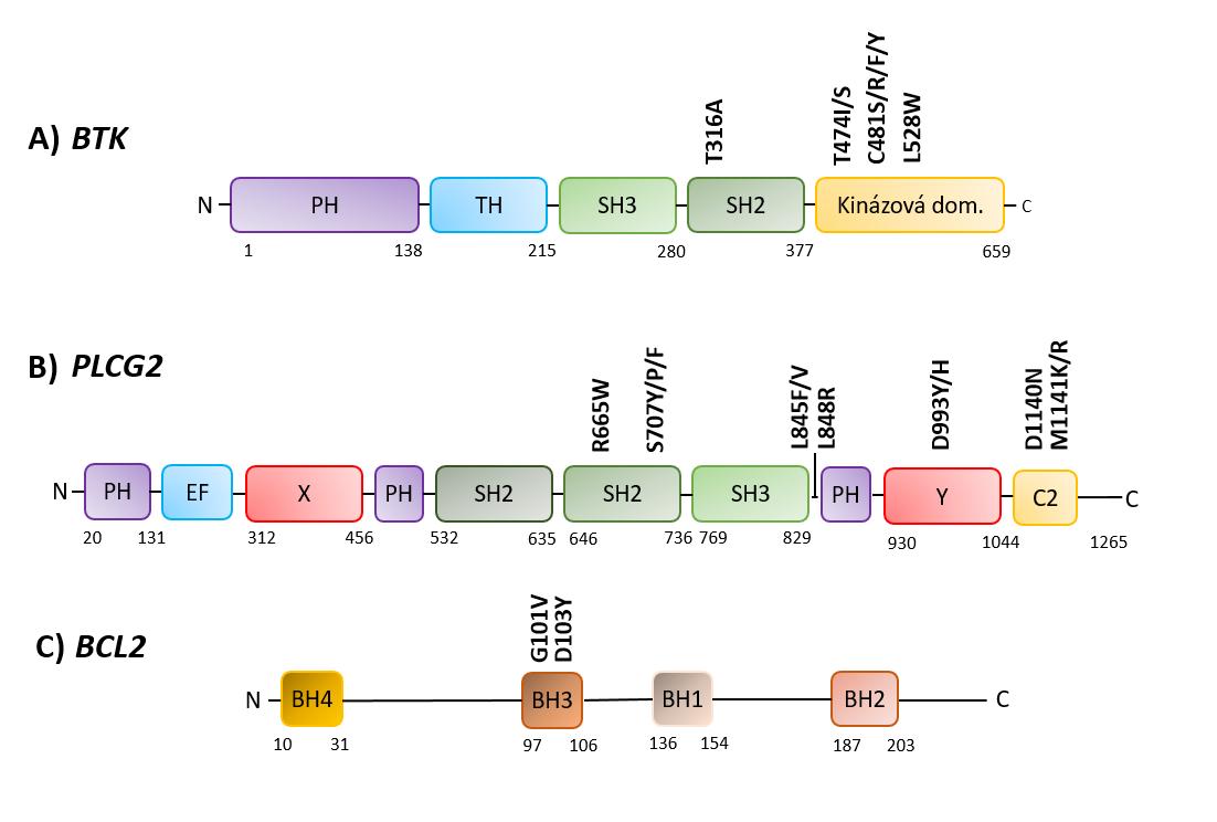 Schéma výskytu nejčastějších mutací asociovaných s rezistencí v genech A) BTK, B) PLCG2, C) BCL2.  Legenda: PH – Pleckstrin homologní doména, SH2/3 – Src homologní doména 2/3 (autoinhibiční doména), TH – Tec homologní doména, C-2 – motiv vázající vápník, X – katalytická doména, Y – katalytická doména, BH1–4 – BCL2 homologní doména 1–4.