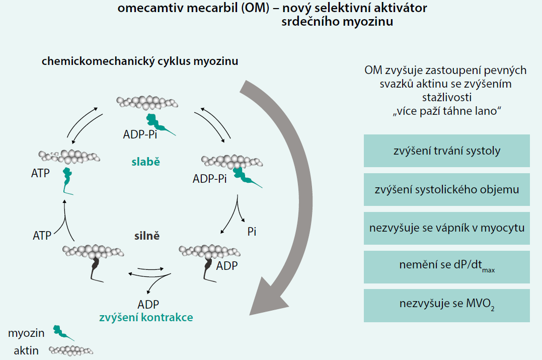 Schéma 2. Mechanizmus účinku omecamtiv mecarbilu