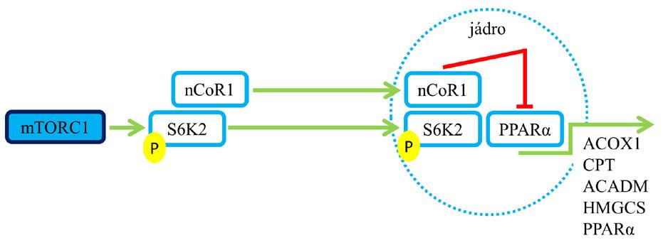 Role mTORC1 v procesu ketogeneze a oxidace mastných kyselin. Aktivace mTORC1 vede k útlumu syntézy enzymů zapojených do ketogeneze a oxidace mastných kyselin (6, 7). Pozn.: zelená šipka – aktivace; červené T – blokáda.