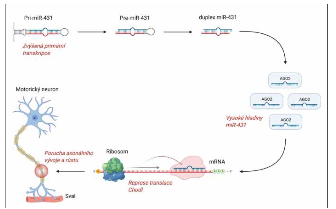 Regulace transkripce u SMA prostřednictvím miRNA. Příklad miR-431 a genu CHODL.<br> Příklad zapojení jedné z miRNA, miR-431, do patogeneze SMA. Zvýšená transkripce pri-miR-431 vede k vysokým hladinám maturované miR-431. Některé z genů, které jsou utlumené v důsledku ztráty SMN, jsou současně negativně regulovány také cestou miR-431, která tak může potencovat patogenní efekt ztráty SMN. Mezi klíčové geny regulované jak cestou SMN tak pomocí miR-431 patří chondrolektin (CHODL). Vazba miR-431 na 3'UTR vazebné místo v mRNA chondrolektinu způsobuje inhibici jeho translace a degradaci [3].<br> Chondrolektin reguluje růst motoneuronů a jeho ztráta vede k poruchám axonálního vývoje a růstu.<br> miRNA – mikroRNA; SMA – spinální muskulární atrofie; SMN – survival motor neuron<br> Fig. 1. MicroRNA regulation of transcription in SMA. The example of miR-431 and CHODL gene.<br> The example of the involvement of one of the miRNAs, miR-431, in the pathogenesis of SMA. Increased primary transcription of pri-miR-431, leads to high lmiR-431 levels. Some of the genes that are attenuated due to SMN loss are also negatively regulated by the miR-431 pathway, which may potentiate the pathogenic eff ect of SMN loss. Key genes regulated by both SMN and miR-431 include chondrolectin (CHODL). Binding of miR-431 to the 3'UTR binding site in chondrolectin mRNA causes inhibition of its translation and degradation [3]. Chondrolectin regulates the growth of motoneurons and its loss leads to disorders of axonal development and growth.<br> miRNA – microRNA; SMA – spinal muscular atrophy; SMN – survival motor neuron