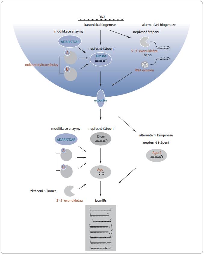 Mechanizmy vzniku izomiRs v průběhu maturace.