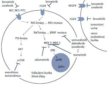 Schéma 1. Přehled základních signálních drah MAPK a PI3K/AKT/mTOR a jejich kontrolních bodů se schematickým náznakem cílů jednotlivých inhibitorů využívaných v biologické léčbě [35].