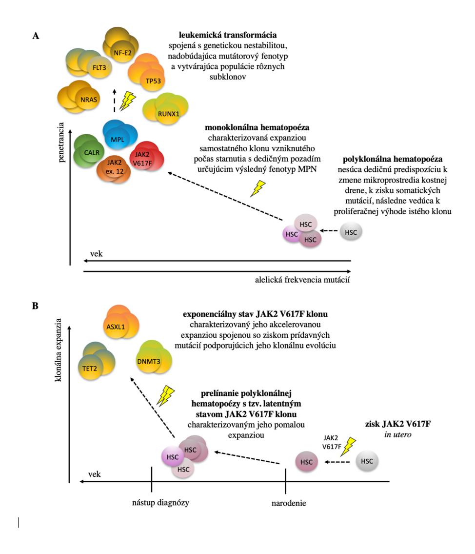 """Dynamický proces vývoja MPN. Doposiaľ prezentovaný, klasický model, model (A), ktorý popisuje, že penetrancia MPN závisí od veku jedinca, typu mutácií a komplexných interakcií dedičného faktora, mikroprostredia kostnej drene a environmentálneho prostredia, ktoré sa spoločne podieľajú na konverzii polyklonálnej hematopoézy na monoklonálnu, s možným medzistupňom v podobe CHIP. Nadmerná klonálna expanzia so sebou prináša riziko vzniku ďalších mutácií (napr. v génoch špecifických pre AML – NRAS, FLT3,TP53, RUNX1, NF-E2 a i. [49]) a transformácie do sAML. Nový model (B) založený na retrospektívnej analýze buniek krvotvorných línií dospelých pacientov až po embryogenézu [20, 21]. Model ukazuje, že získanie """"driver"""" JAK2 V617F (príp. DNMT3A) mutácie sa dá vystopovať až do prenatálneho obdobia. Následne dochádza k veľmi pomalej expanzii mutovaného klonu a trvá desiatky rokov, než klonálna frakcia dosiahne 1 %. Rýchlosť klonálnej expanzie a akvizície ďalších mutácií rozhoduje o klinickej manifestácii ochorenia."""