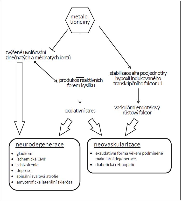 Předpokládaný schematický mechanizmus zapojení metalotioneinů do procesu neurodegenerace a neovaskularizace [46].<br> Metalotioneiny vážou kovové ionty, snižují produkci volných kyslíkových radikálů a působí tedy proti neurodegenerativním onemocněním. Zároveň podporují neovaskulární poruchy prostřednictvím stabilizace faktoru- -1α indukovatelného hypoxií.<br> Fig. 3. Putative schematic mechanism of the involvement of metallothioneins in neurodegeneration and neovascularization [46]<br>. Metallothioneins bind metal ions and inhibit reactive oxygen species production to protect against neurodegenerative diseases, and support neovascular disorders via stabilizing hypoxia inducible factor-1α.