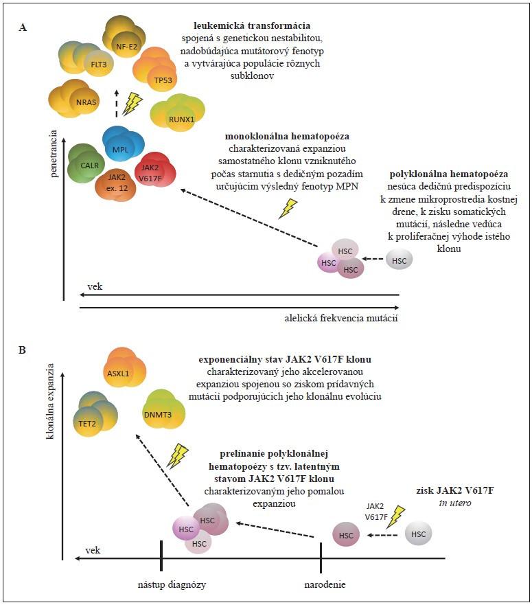 """Dynamický proces vývoja MPN. Doposiaľ prezentovaný, klasický model, model (A), ktorý popisuje, že penetrancia MPN závisí od veku jedinca, typu mutácií a komplexných interakcií dedičného faktora, mikroprostredia kostnej drene a environmentálneho prostredia, ktoré sa spoločne podieľajú na konverzii polyklonálnej hematopoézy na monoklonálnu, s možným medzistupňom v podobe CHIP. Nadmerná klonálna expanzia so sebou prináša riziko vzniku ďalších mutácií (napr. v génoch špecifi ckých pre AML – NRAS, FLT3, TP53, RUNX1, NF-E2 a i. [49]) a transformácie do sAML. Nový model (B) založený na retrospektívnej analýze buniek krvotvorných línií dospelých pacientov až po embryogenézu [20,21]. Model ukazuje, že získanie """"driver"""" JAK2 V617F (príp. DNMT3A) mutácie sa dá vystopovať až do prenatálneho obdobia. Následne dochádza k veľmi pomalej expanzii mutovaného klonu a trvá desiatky rokov, než klonálna frakcia dosiahne 1 %. Rýchlosť klonálnej expanzie a akvizície ďalších mutácií rozhoduje o klinickej manifestácii ochorenia."""