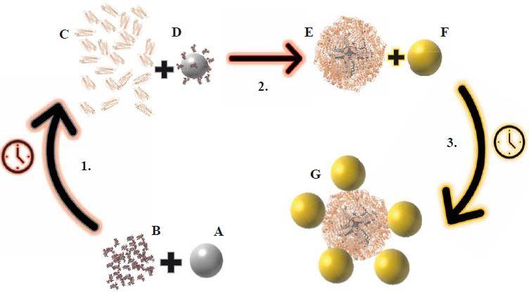 Schéma přípravy modifikovaného apoferritinového nanokonstruktu pro specifické zacílení na nádorové buňky karcinomu prostaty APO/AgNPsGS-DOX/AuNPs ve třech krocích.<br> 1. Navázání AgNPsGS na cytostatikum DOX a vznik AgNPsGS-DOX.<br> 2. Uzavření modifikovaného cytostatika AgNPsGS-DOX do APO v bazickém prostředí vzniká APO/AgNPsGS-DOX.<br> 3. Navázání zlatých nanočástic AuNPs na APO/AgNPsGS-DOX vytvoření finálního nanokonstruktu APO/AgNPsGS-DOX/AuNPs.<br> Popis jednotlivých částí: A. stříbrné nanočástice připravené zelenou syntézou; B. cytostatikum doxorubicin; C. apoferritin v kyselém prostředí (pH = 2±0,1) rozdělený na podjednotky; D. modifikovaný doxorubicin stříbrnými nanočásticemi připravenými zelenou syntézou (AgNPsGS-DOX); E. modifikované cytostatikum (AgNPsGS-DOX) uzavřené do apoferritinu v bazickém prostředí (APO/AgNPsGS-DOX); F. zlaté nanočástice (AuNPs); G. modifikovaný apoferritinový nanokonstrukt (APO/AgNPsGS-DOX/AuNPs). APO – apoferritin, AgNPsGS – stříbrné nanočástice připravené zelenou syntézou, DOX – doxorubicin, AuNPs – zlaté nanočástice