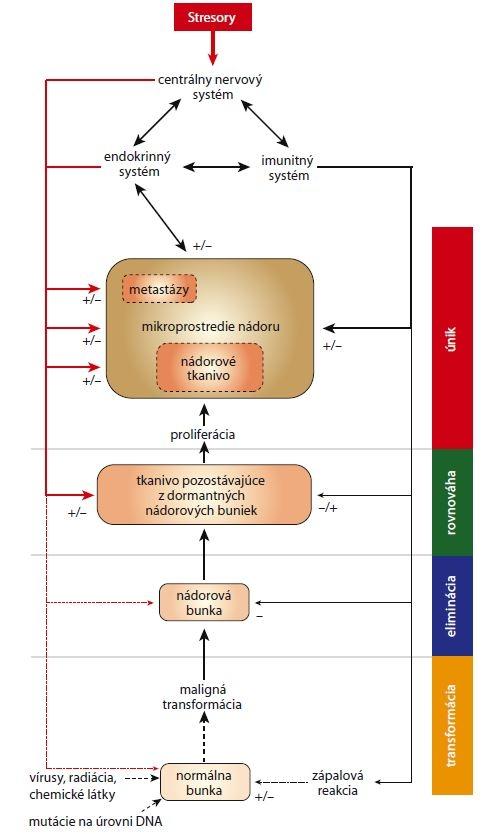 Schéma 1. Schematické znázornenie dráh, prostredníctvom ktorých môžu stresory ovplyvňovať vznik nádorov a tvorbu metastáz. Neuroendokrinná stresová reakcia môže ovplyvňovať procesy spojené s transformáciou buniek ako aj procesy spojené s reakciou imunitných buniek na prítomnosť nádoru.